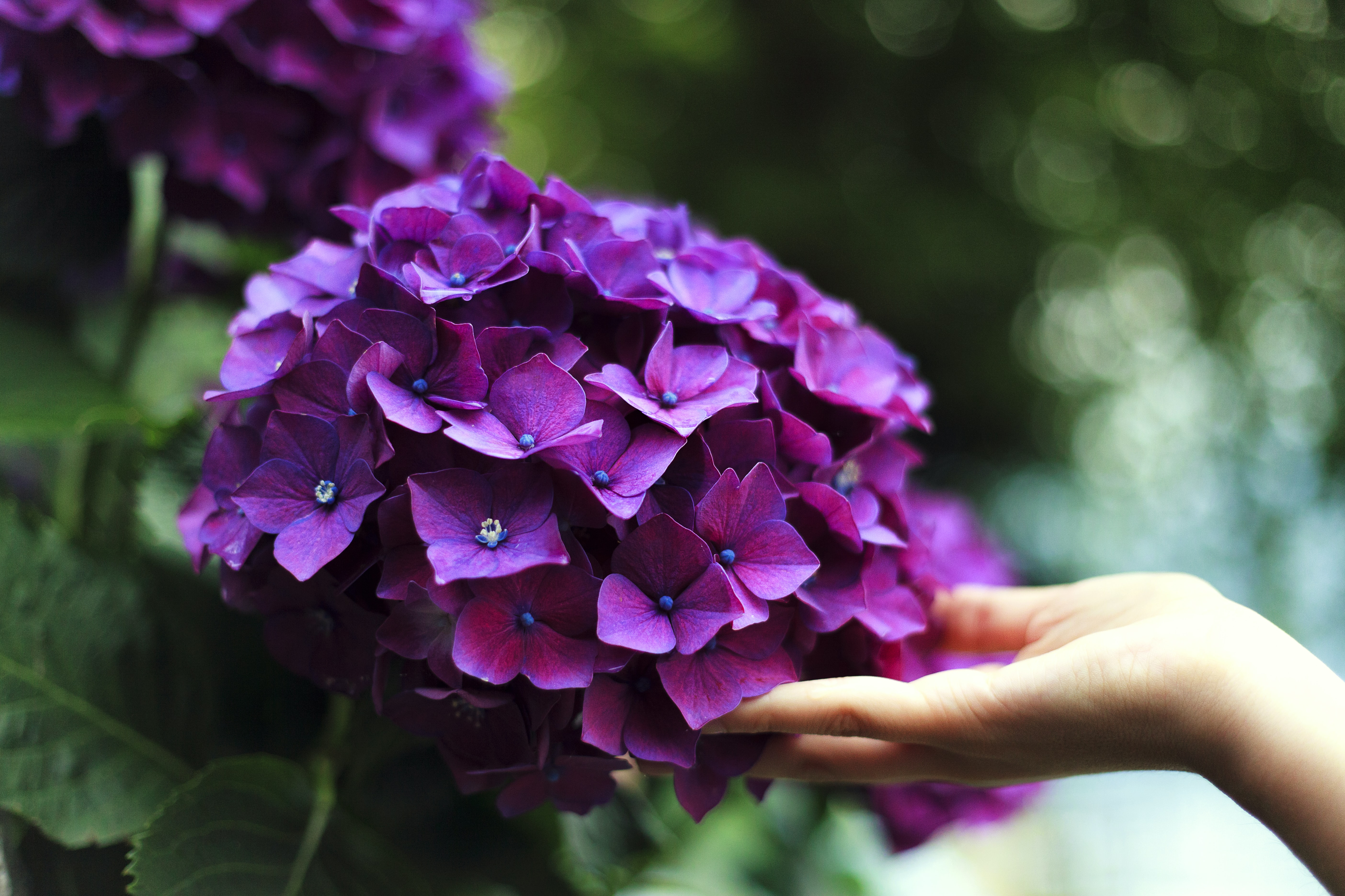 A person's hand touching a cluster of purple hydrangea flowers