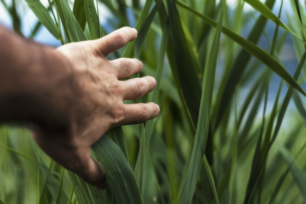 person holding green grass