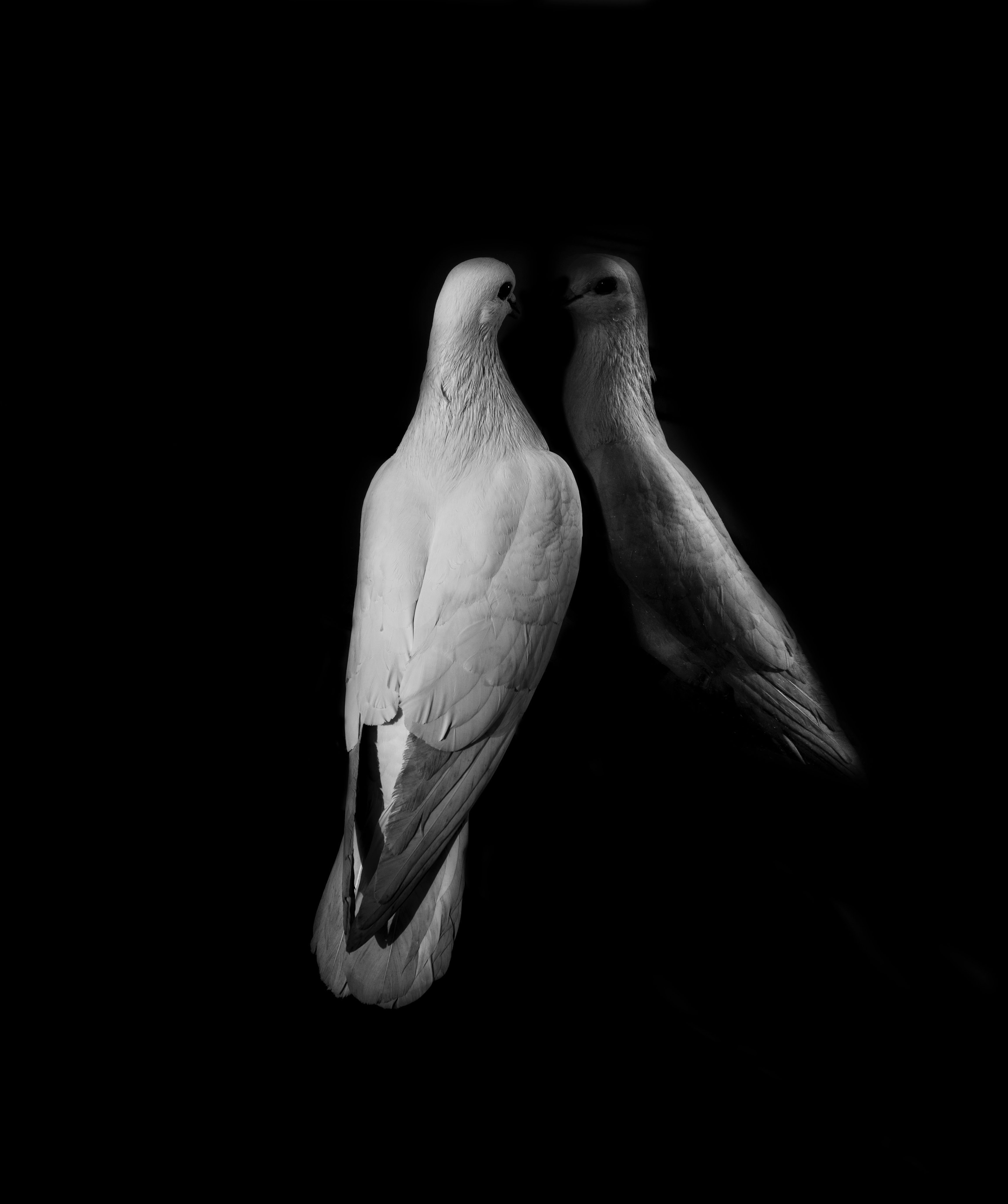 A bird staring at itself with a dark background.
