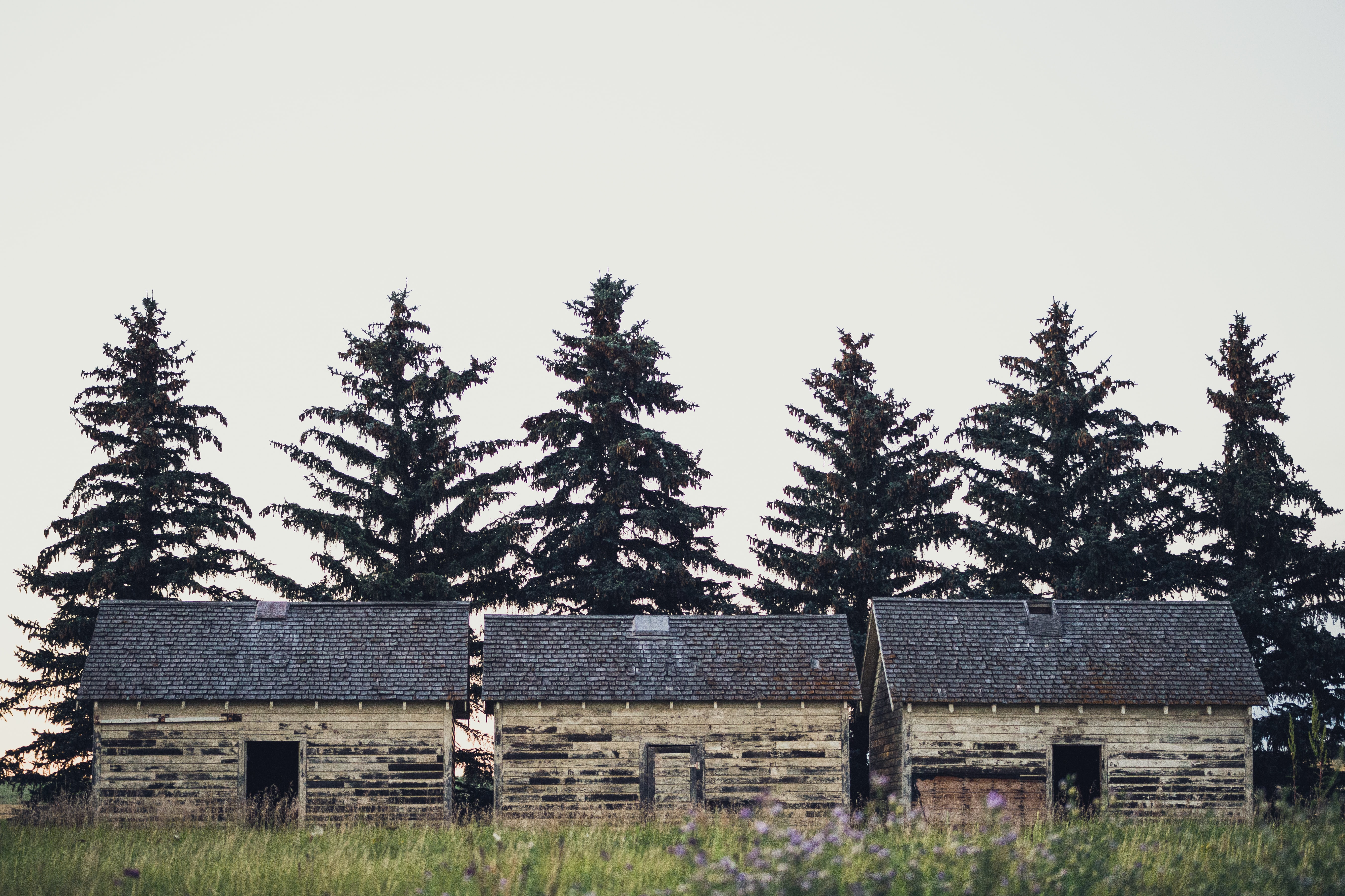 Three rustic sheds in a field with six huge pine trees in Three Hills