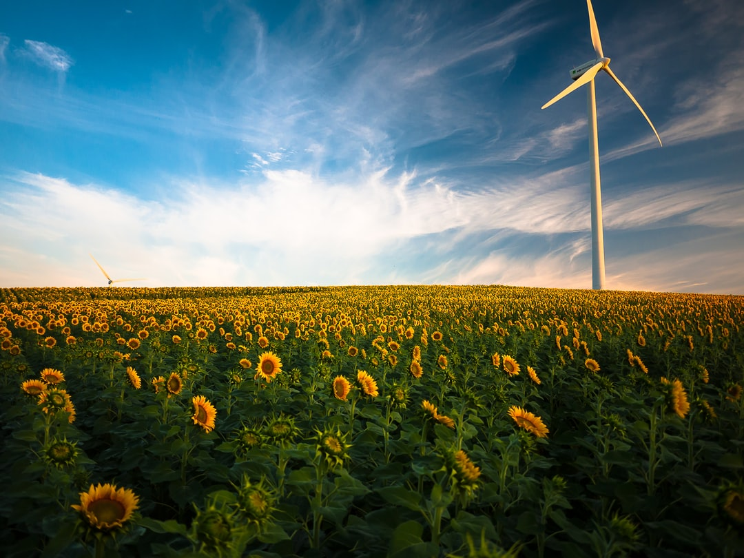 Environment photo of sunflowers and windmill