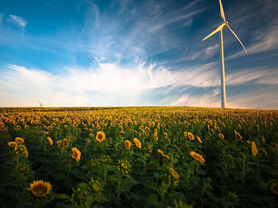 Windfarm and sunflowers