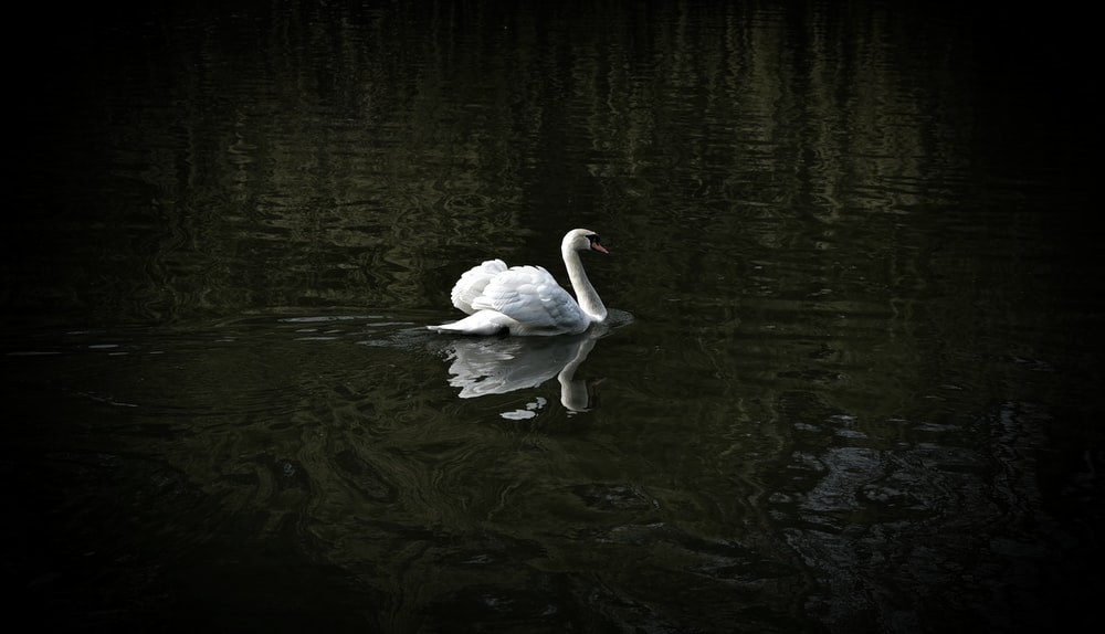 white swan floating on water