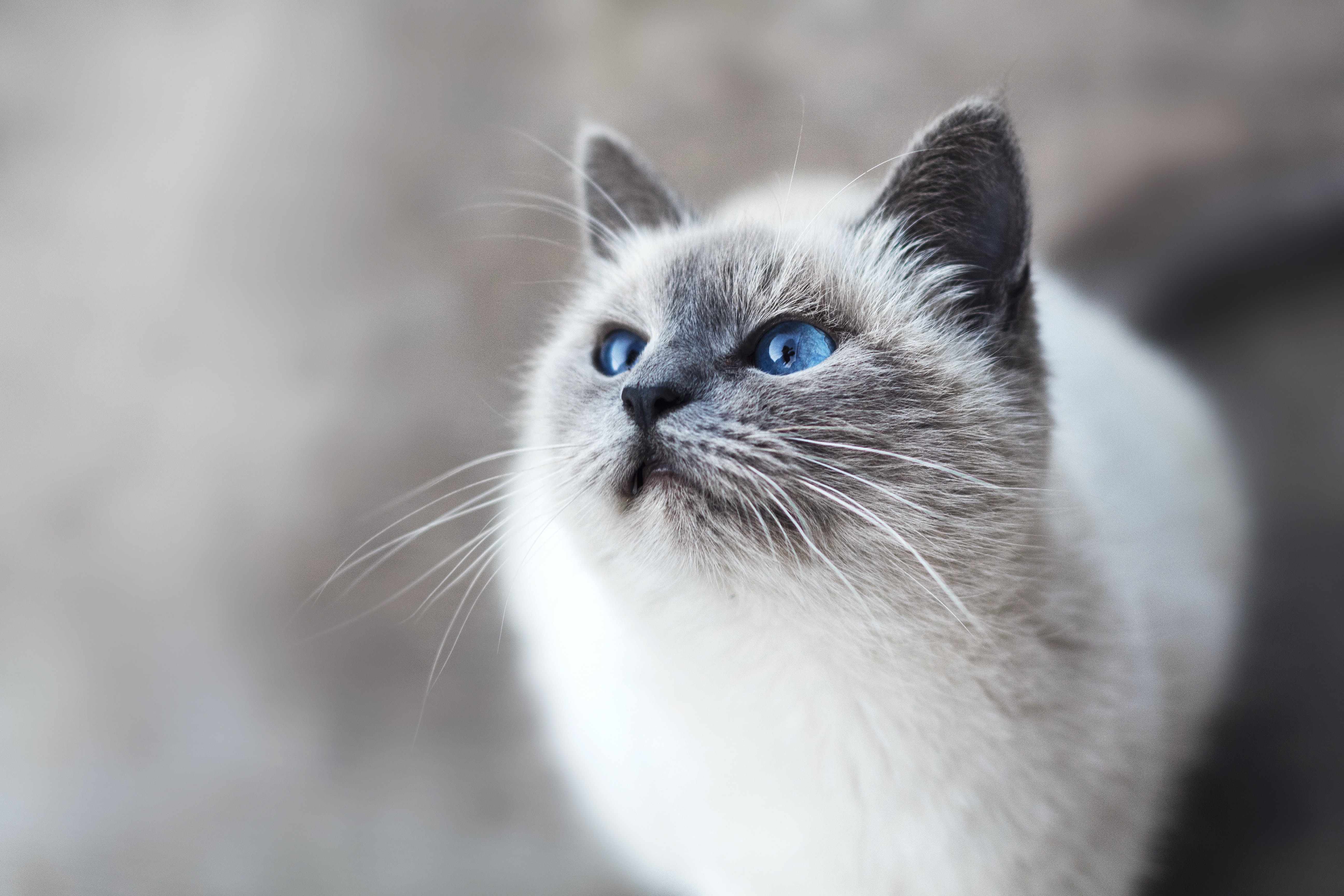 Close-up of a blue-eyed cat looking up