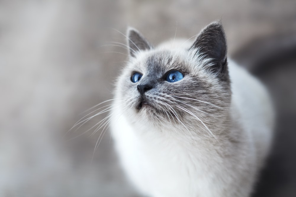 white and gray cat