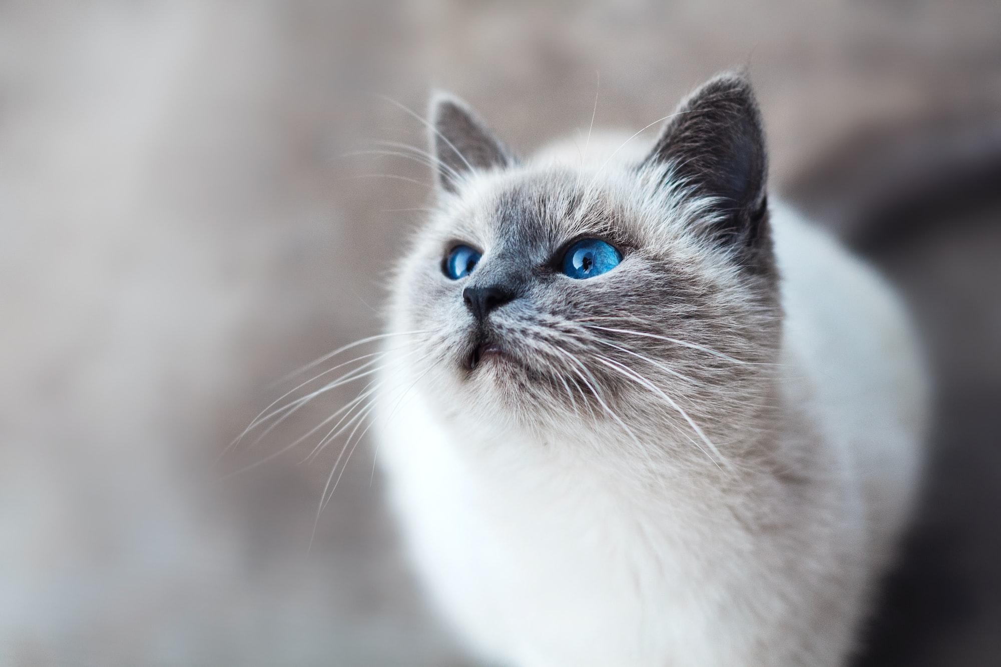 Startled blue-eyed cat