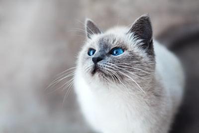 Cute kitty Silvester