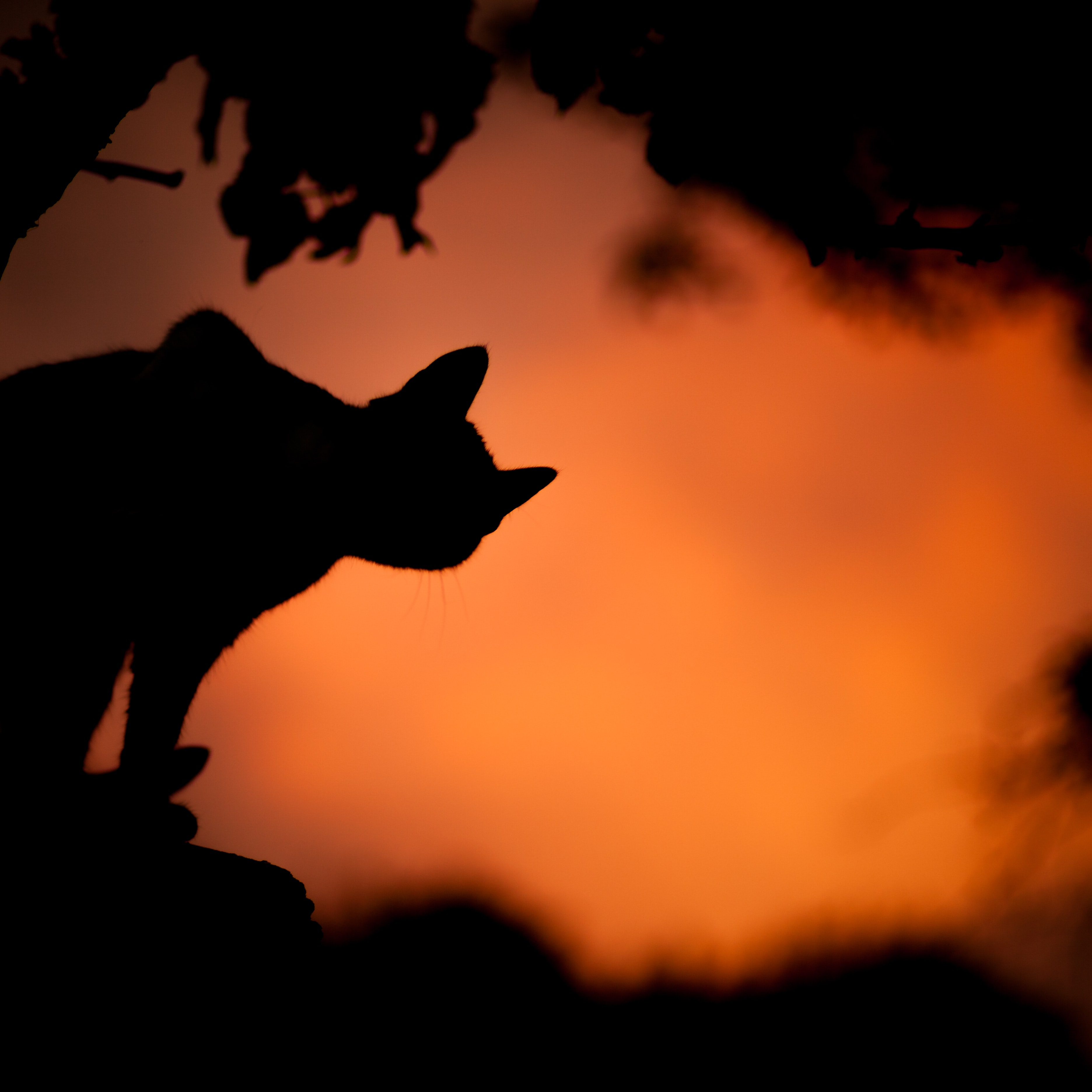 Silhouette shot of cat and tree against orange sky background in Cerkno