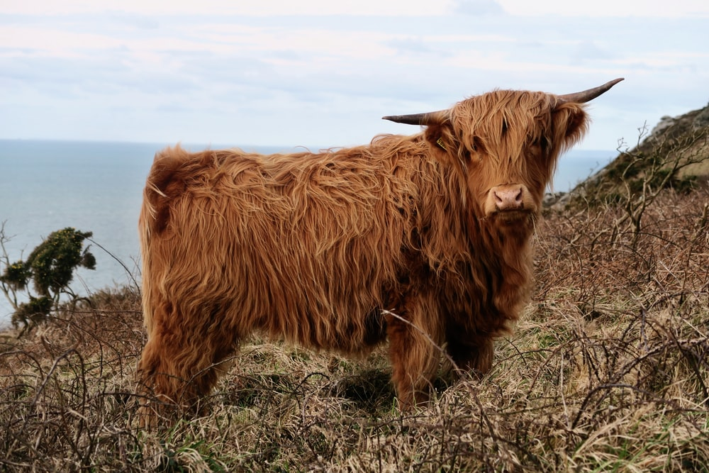 100+ Highland Cow Pictures | Download Free Images on Unsplash