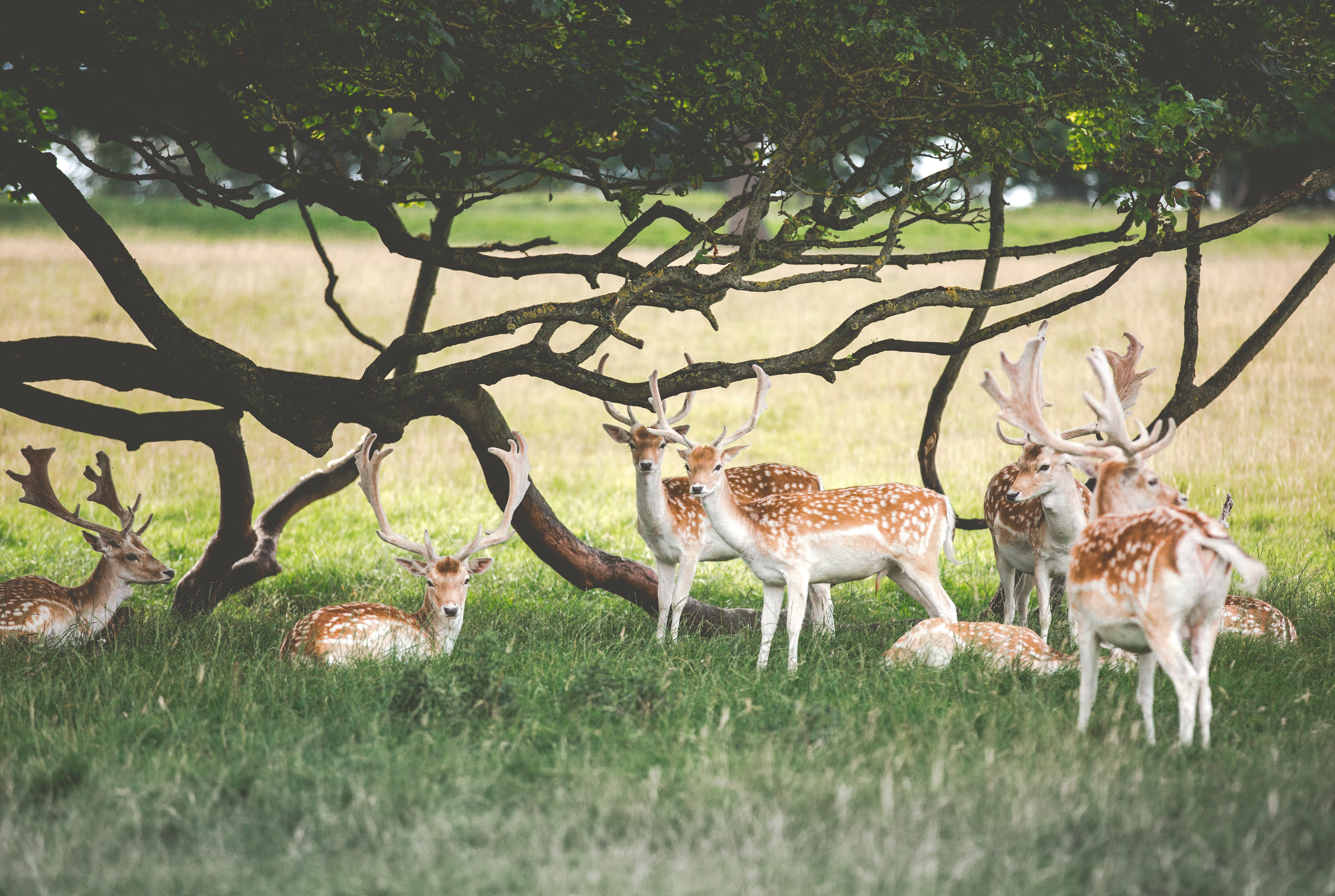 Family of deer repose under a tree whose branches look like antlers too