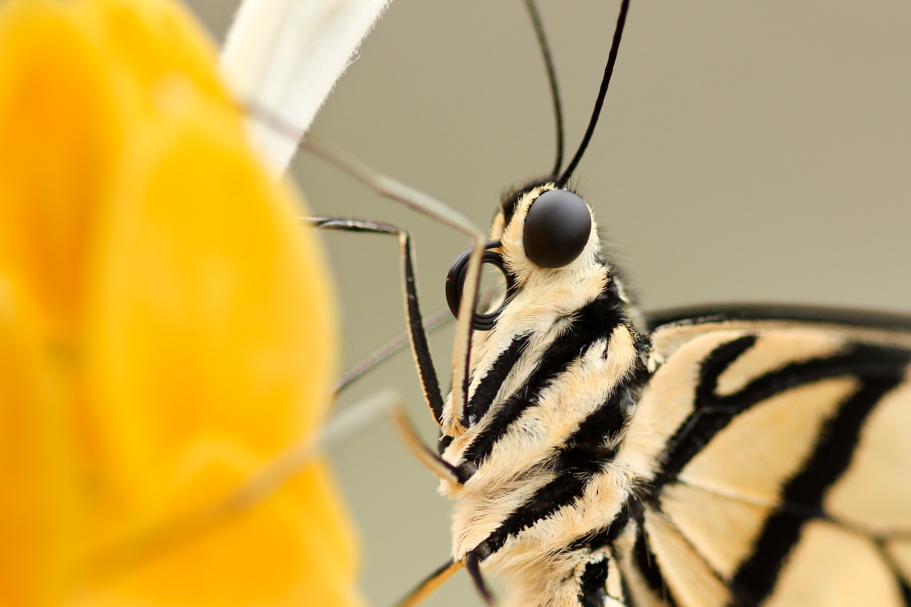 A macro shot of the underside of a butterfly on a yellow flower