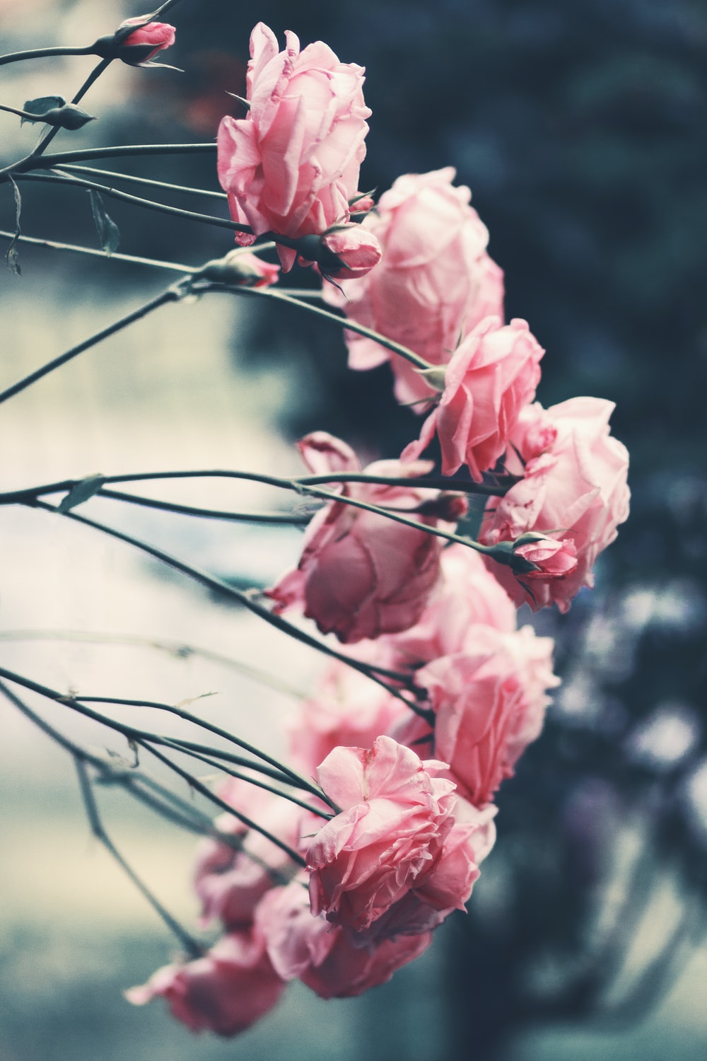 Pink 10 best free pink flower rose and bouquet photos on unsplash stems with pink roses leaning to the side mightylinksfo