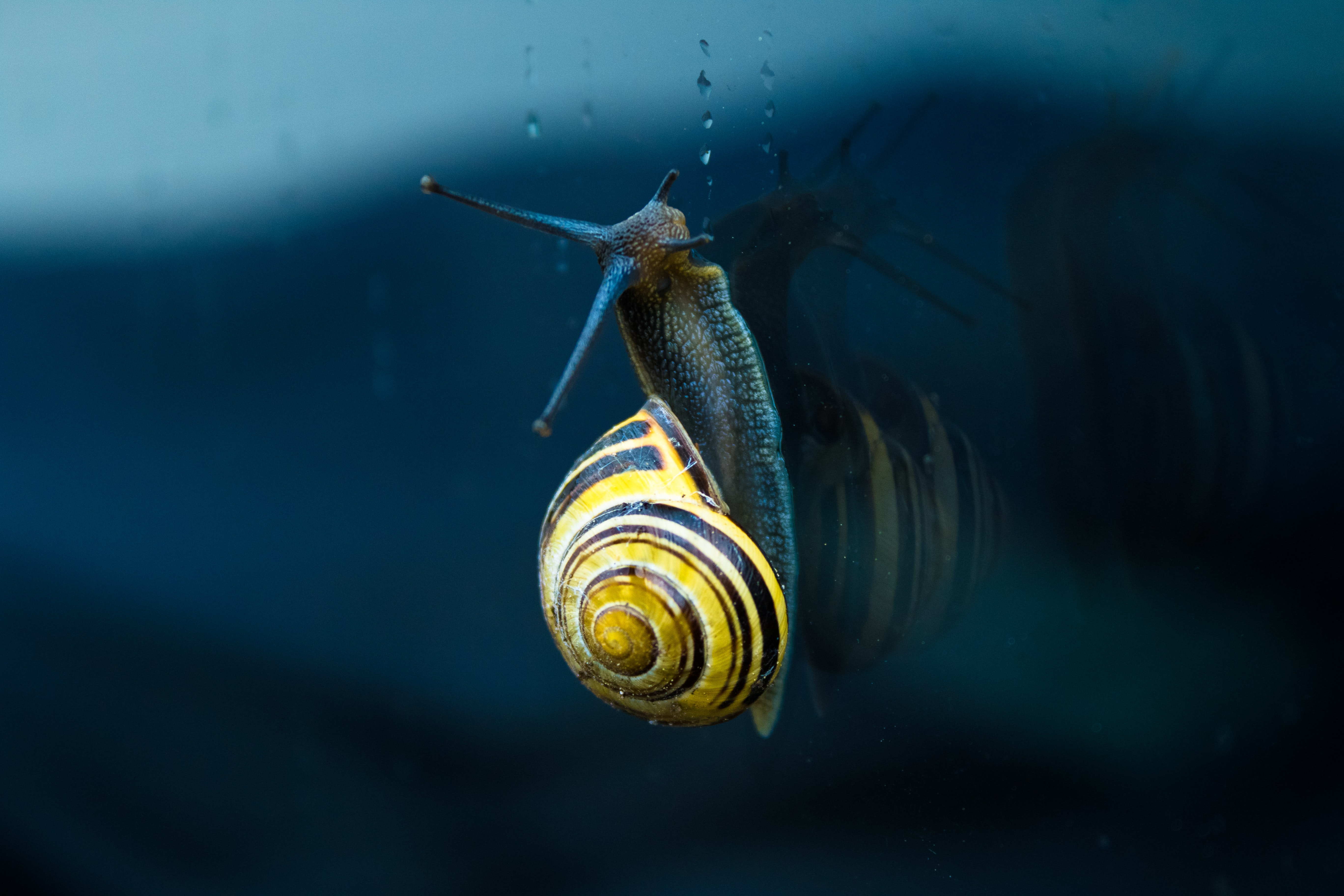 Snail with a yellow striped spiral shell ascends window with water drops