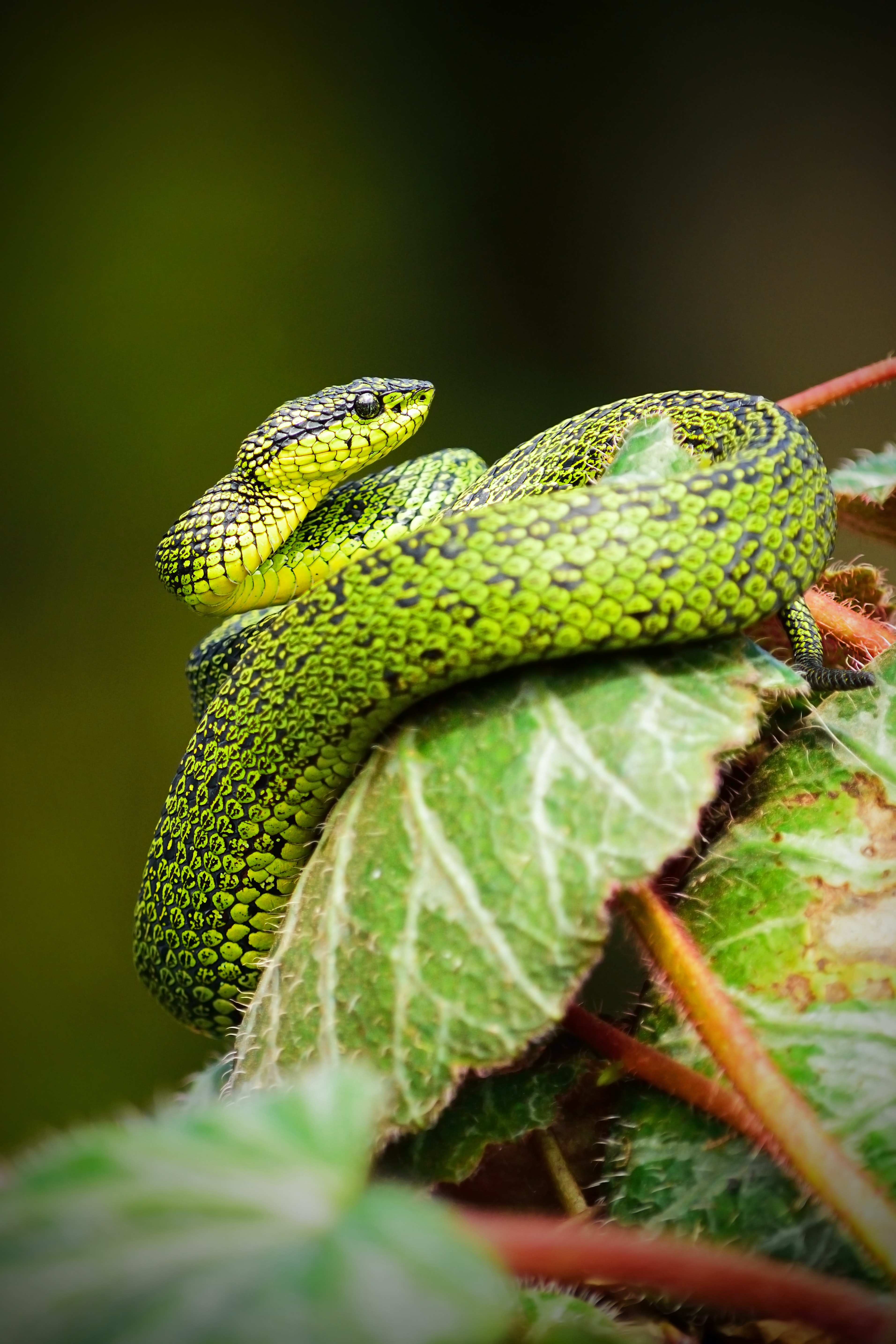 A snake with green and black scales coiled around a leaf