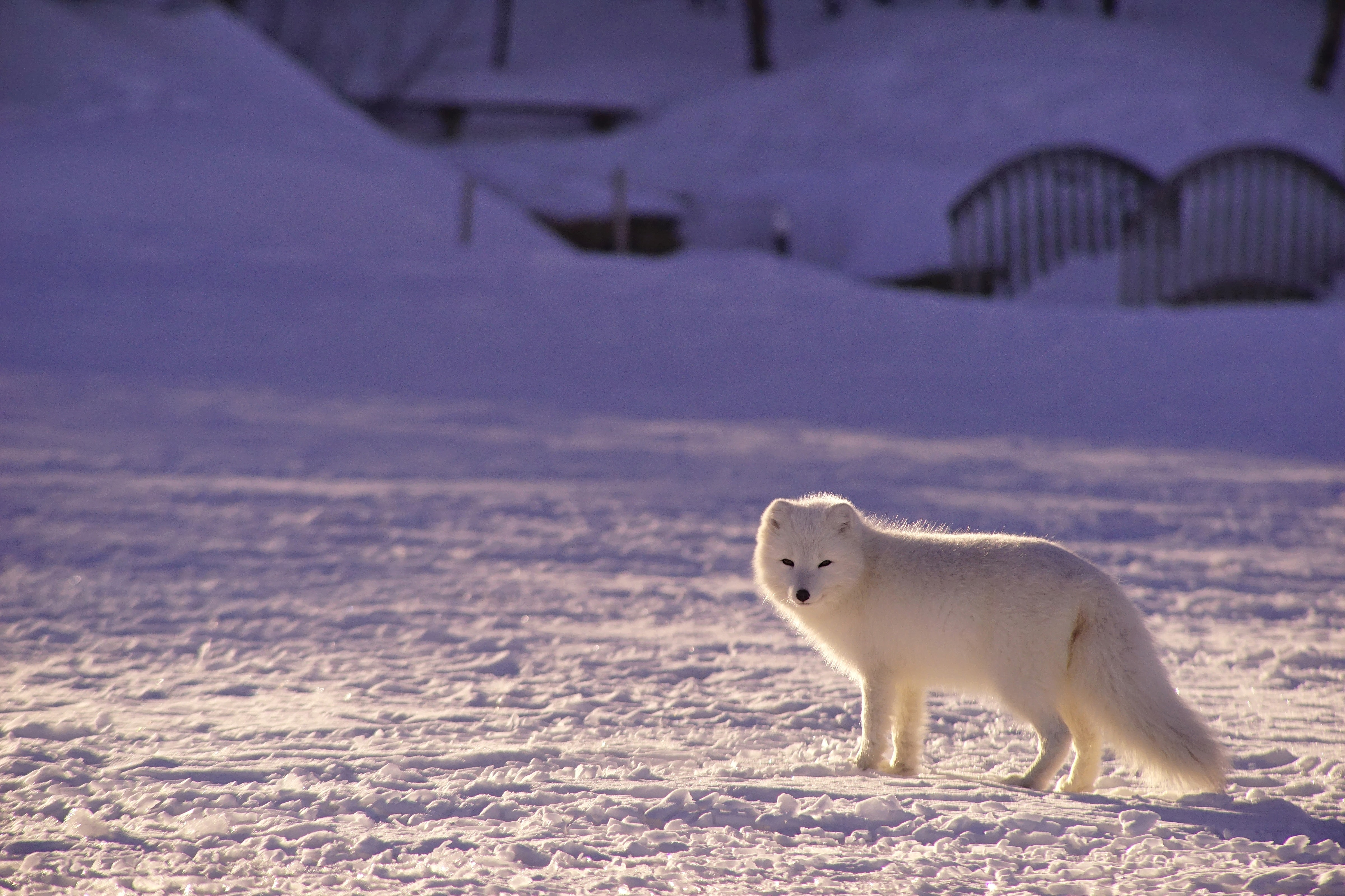 White arctic fox standing on a field of snow in front of bridge