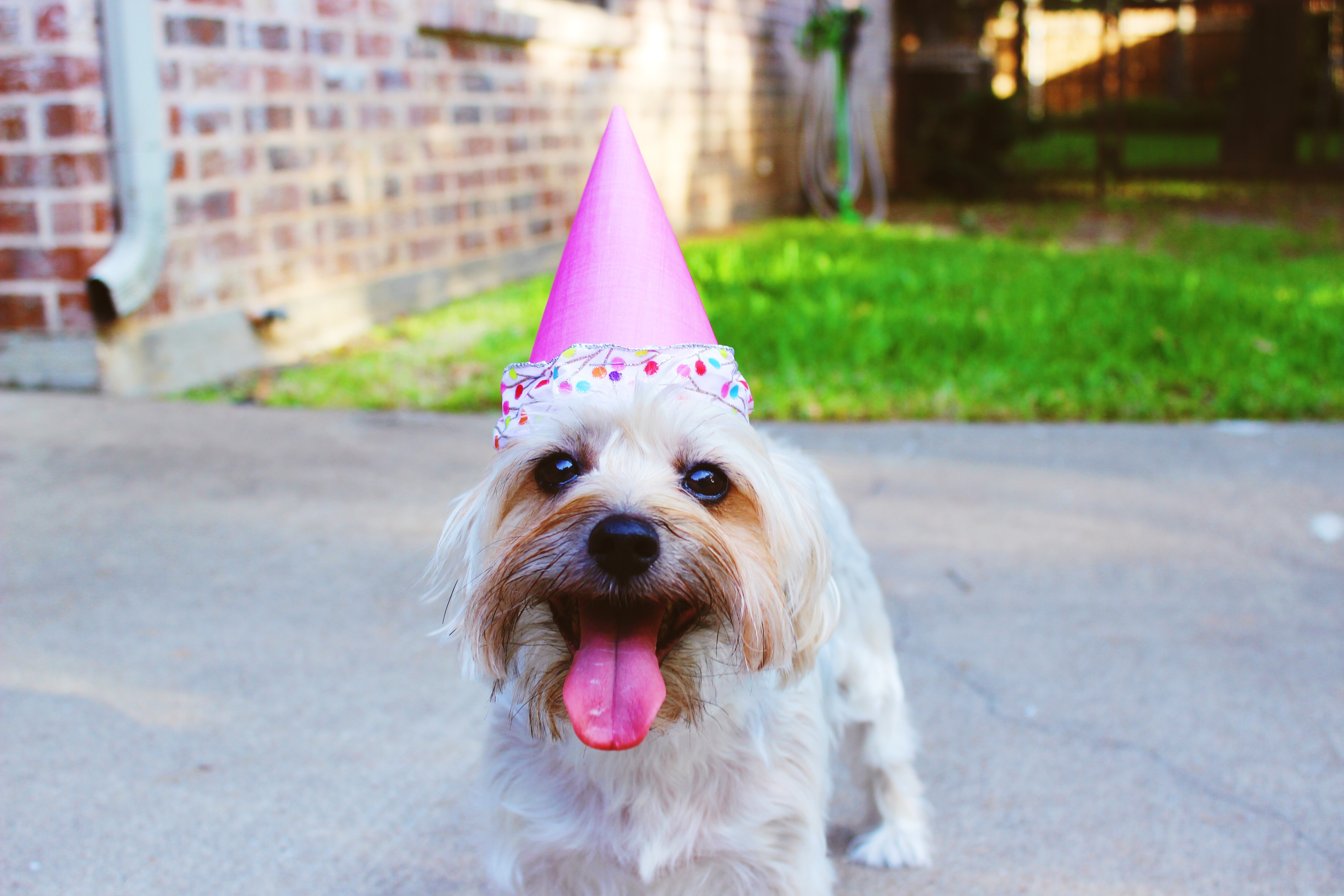 dog wearing party hat