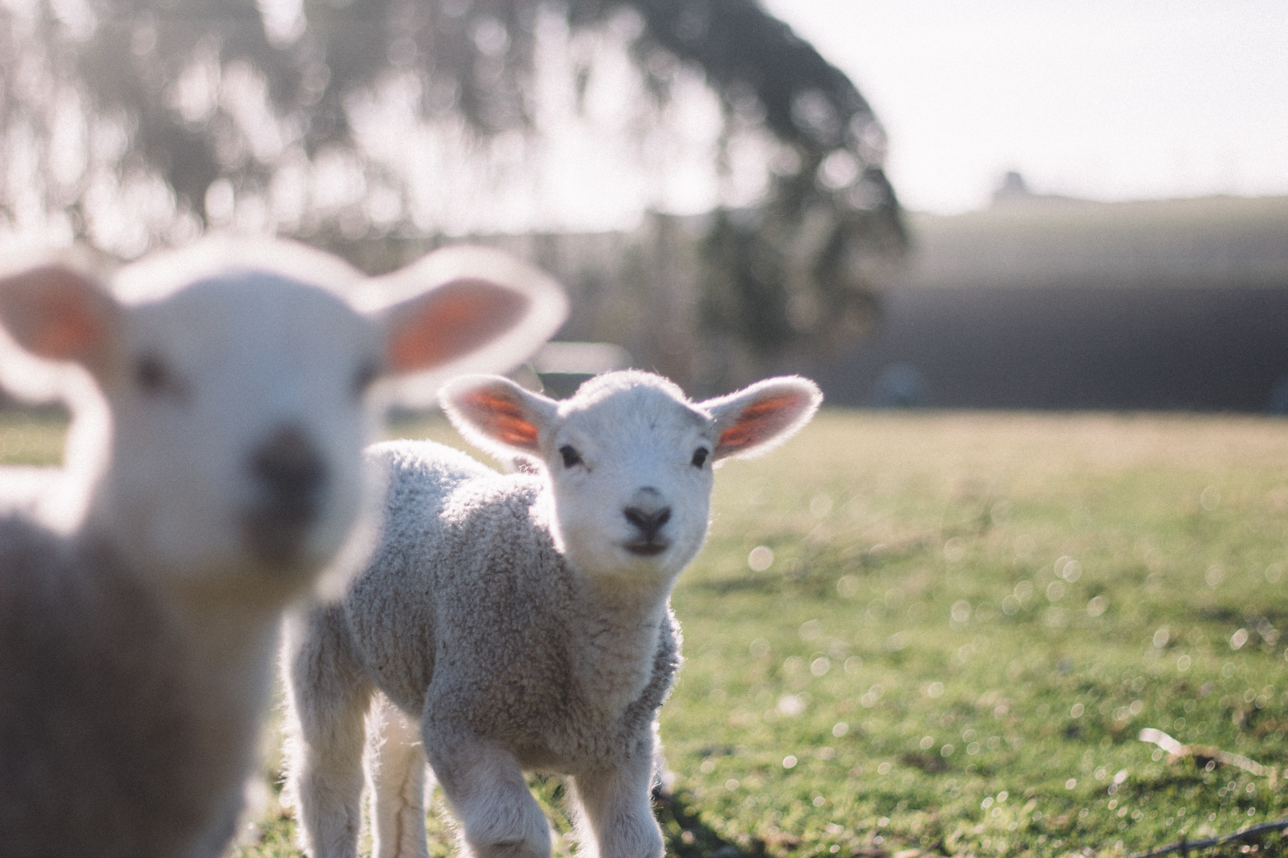 Two baby lambs with trimmed coat looking at the camera while grazing in a green pasture on a sunny day