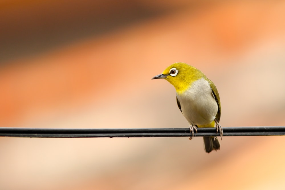 macro shot of green and white bird on black electrical cable