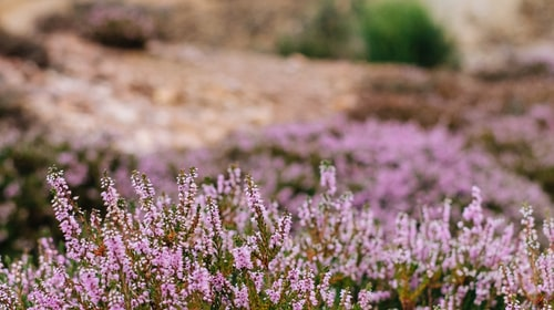 A Brush of Heather
