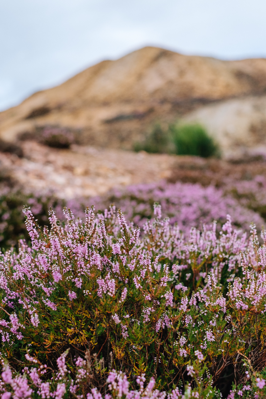 Pink heather flowers growing wild near rocky hills