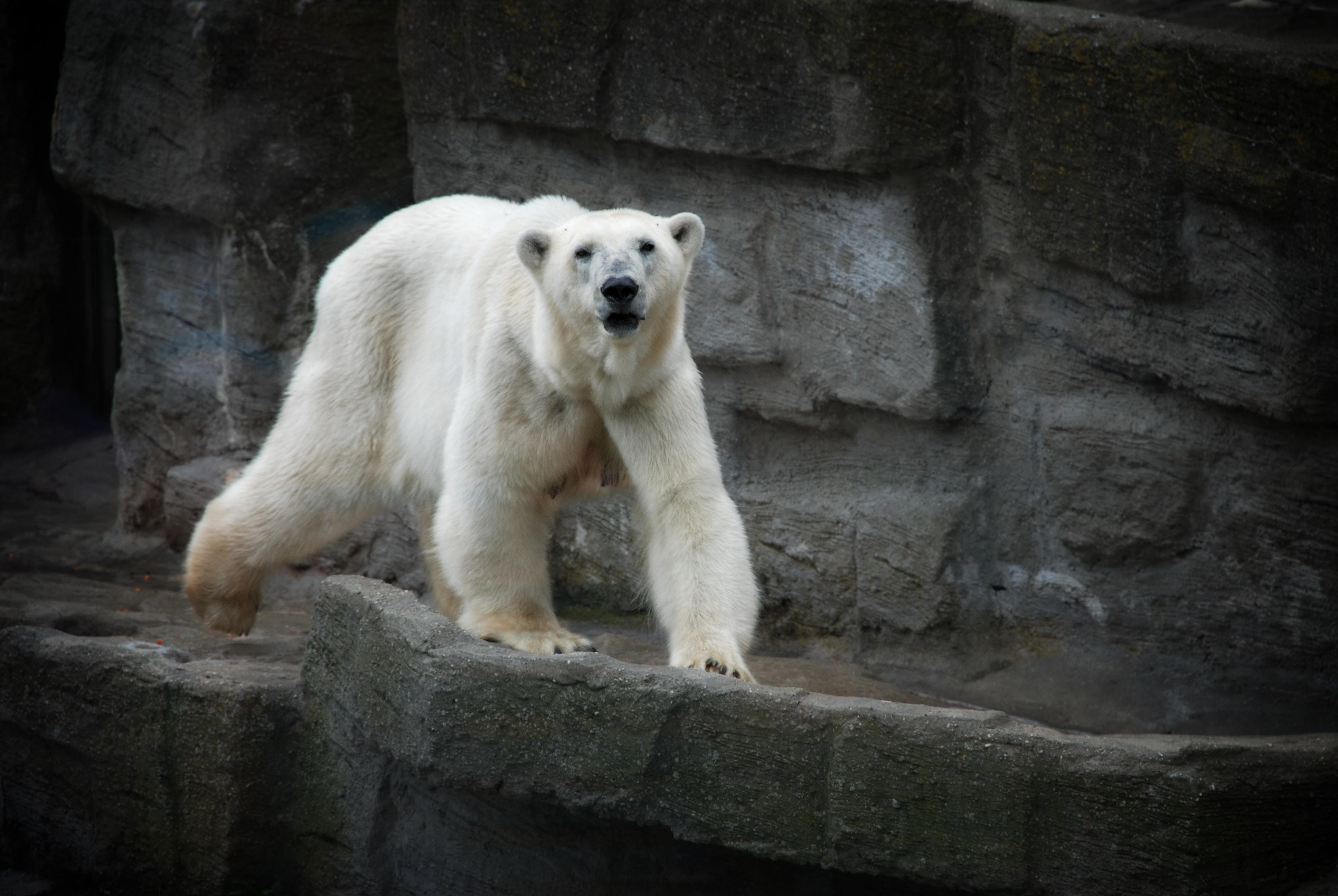 A view of a white furry polar bear walking on a stony cliff