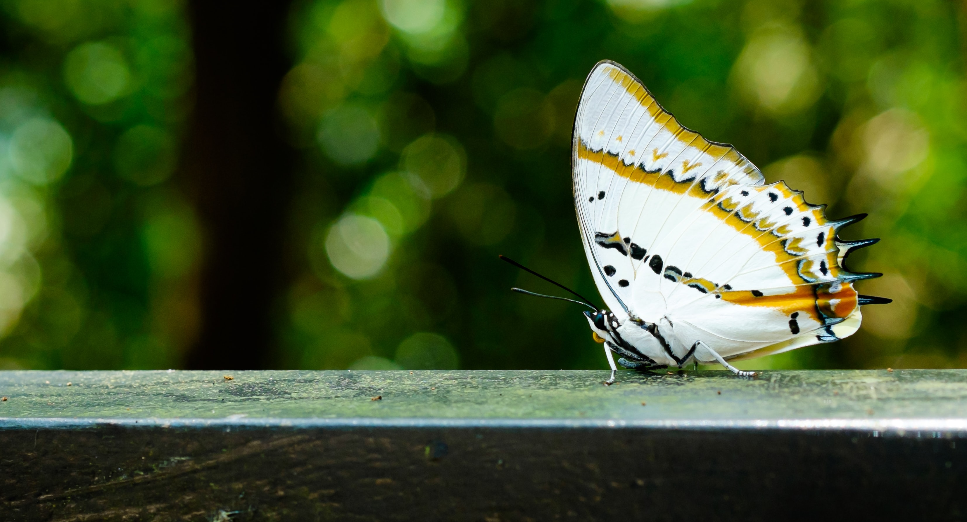 A white butterfly on a deck ledge.