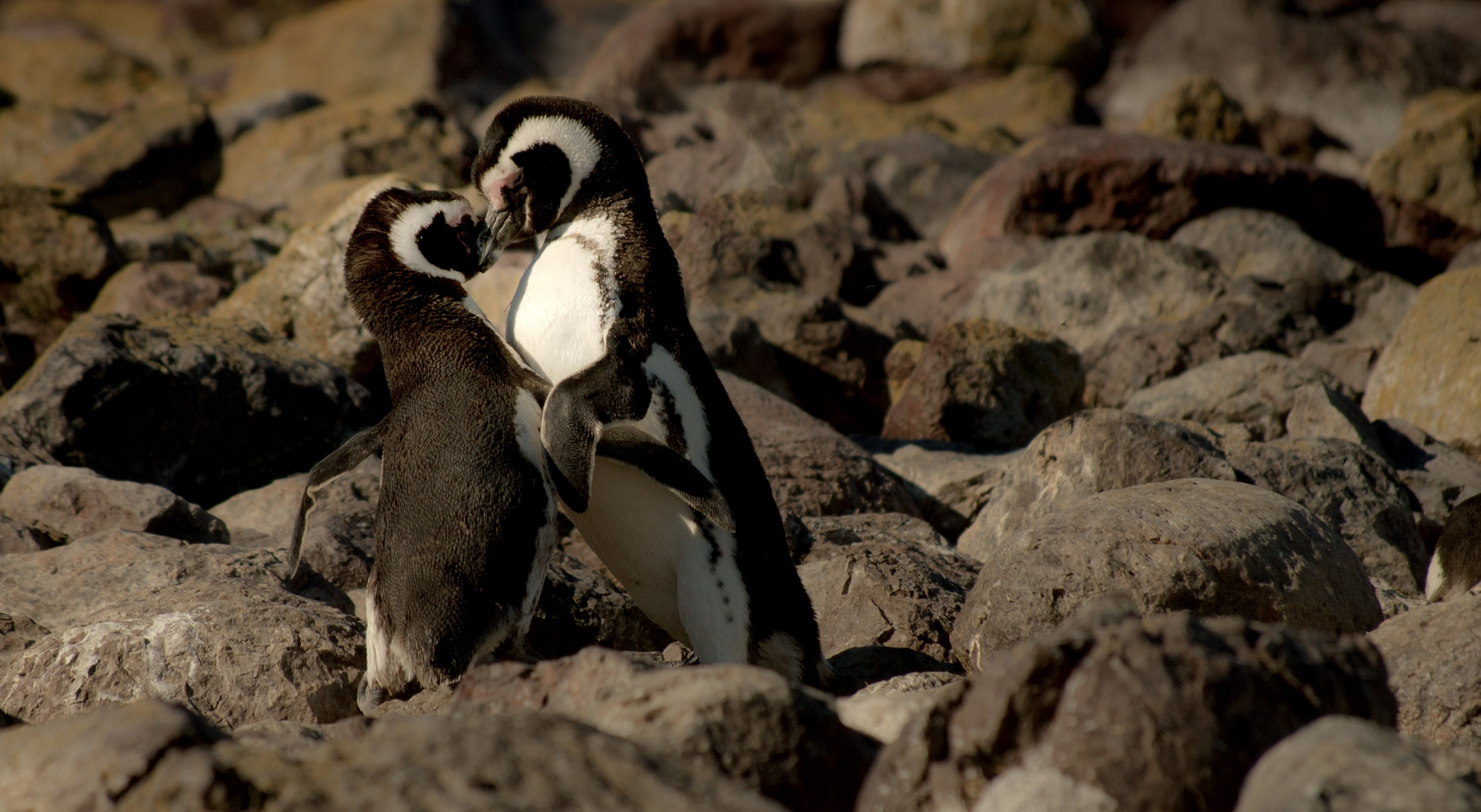 Penguins in love form a heart shape together with their plumage