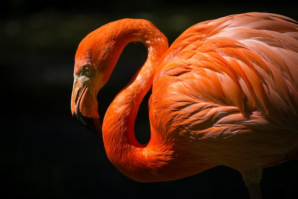orange flamingo closeup photography