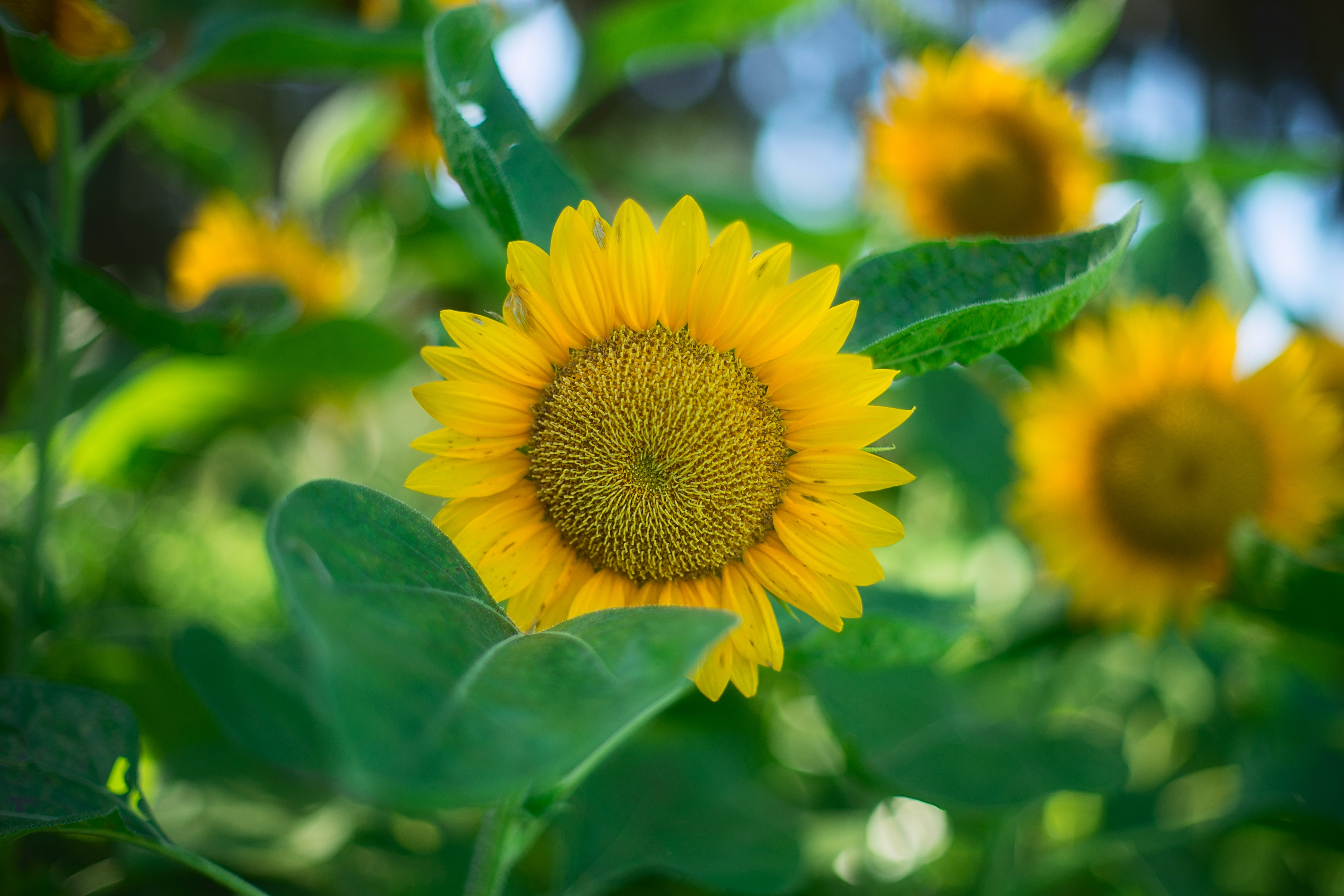 A patch of yellow sunflowers on a sunny day