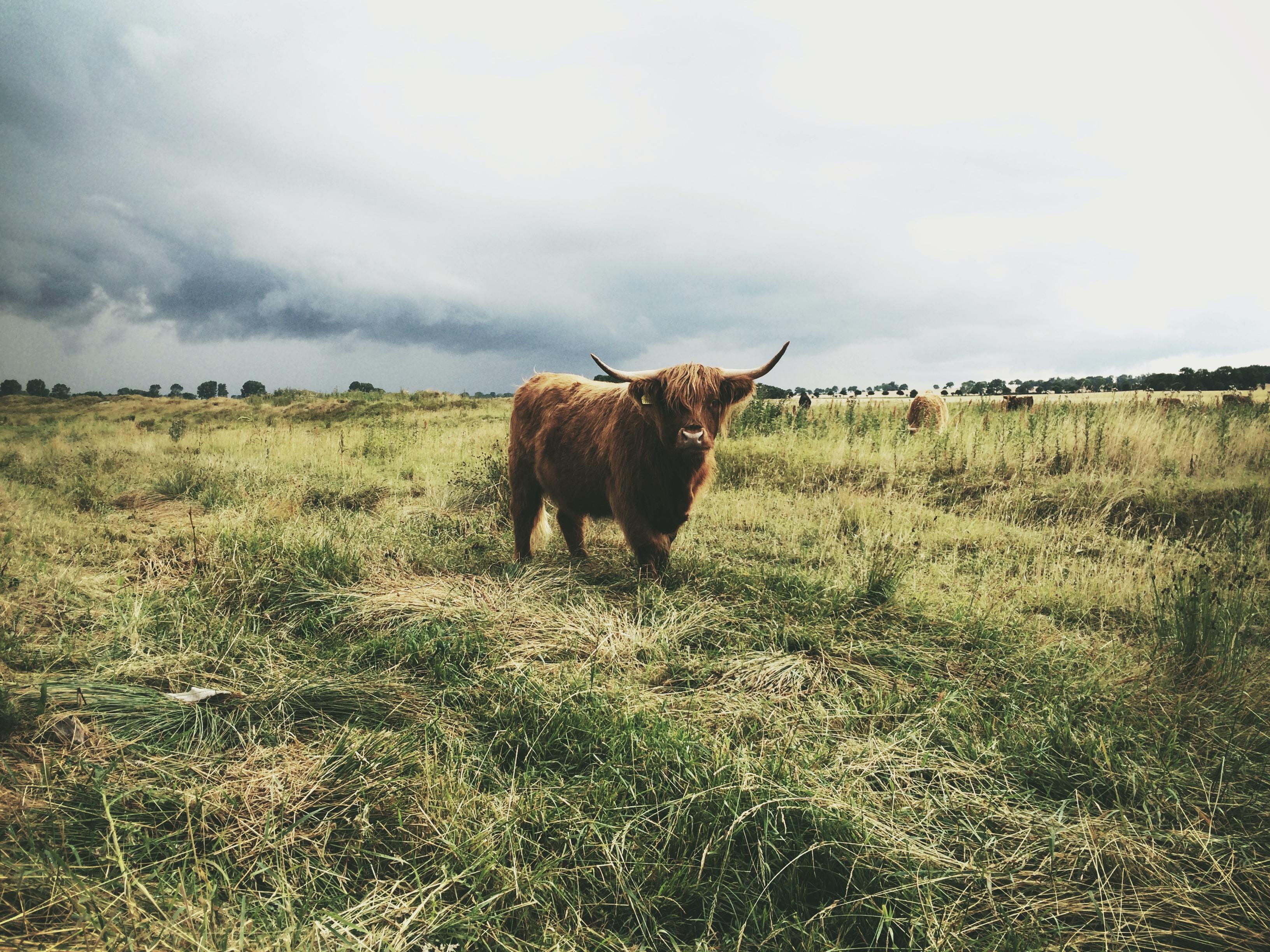 highland cattle standing on grass field