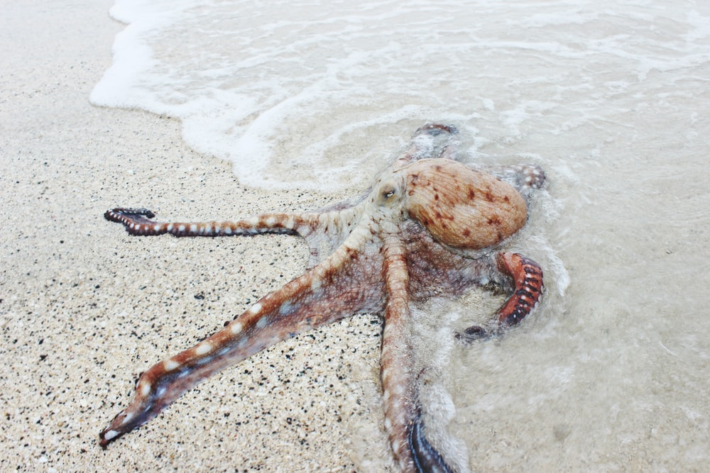 brown octopus on seashore