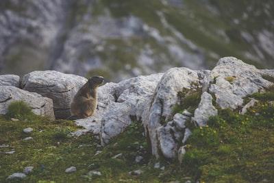 brown beaver groundhog teams background