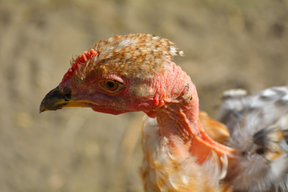 closeup photo of brown and gray naked-neck chicken