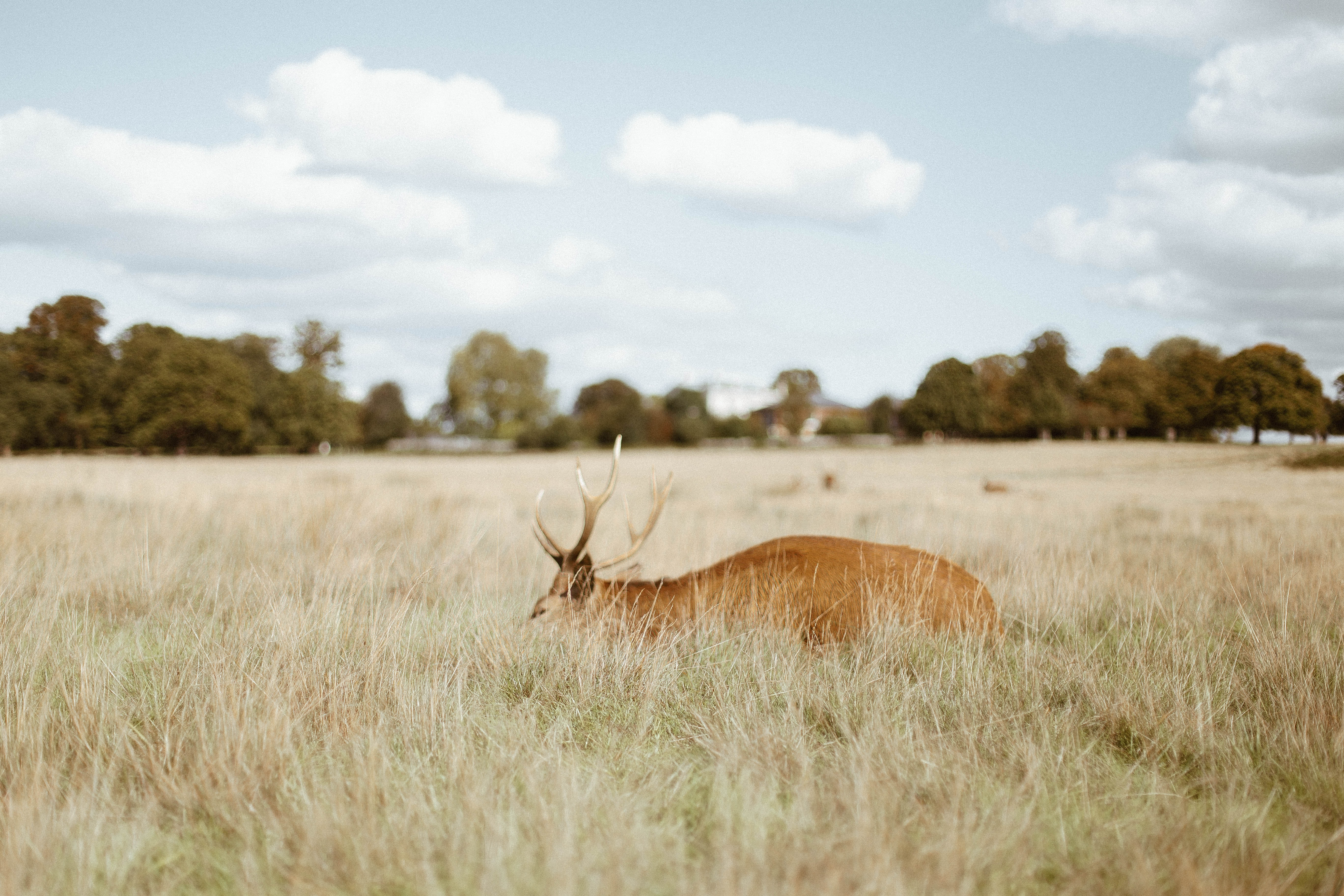A deer feeding on tall dry grass in Richmond Park