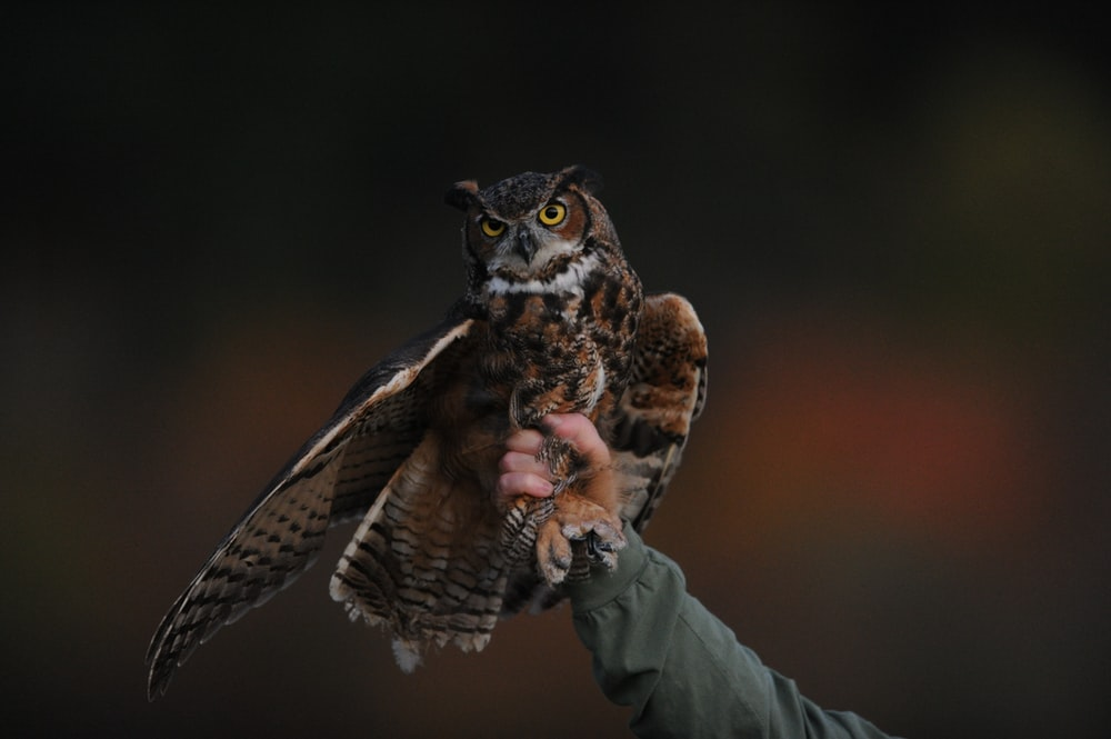 person holding brown owl