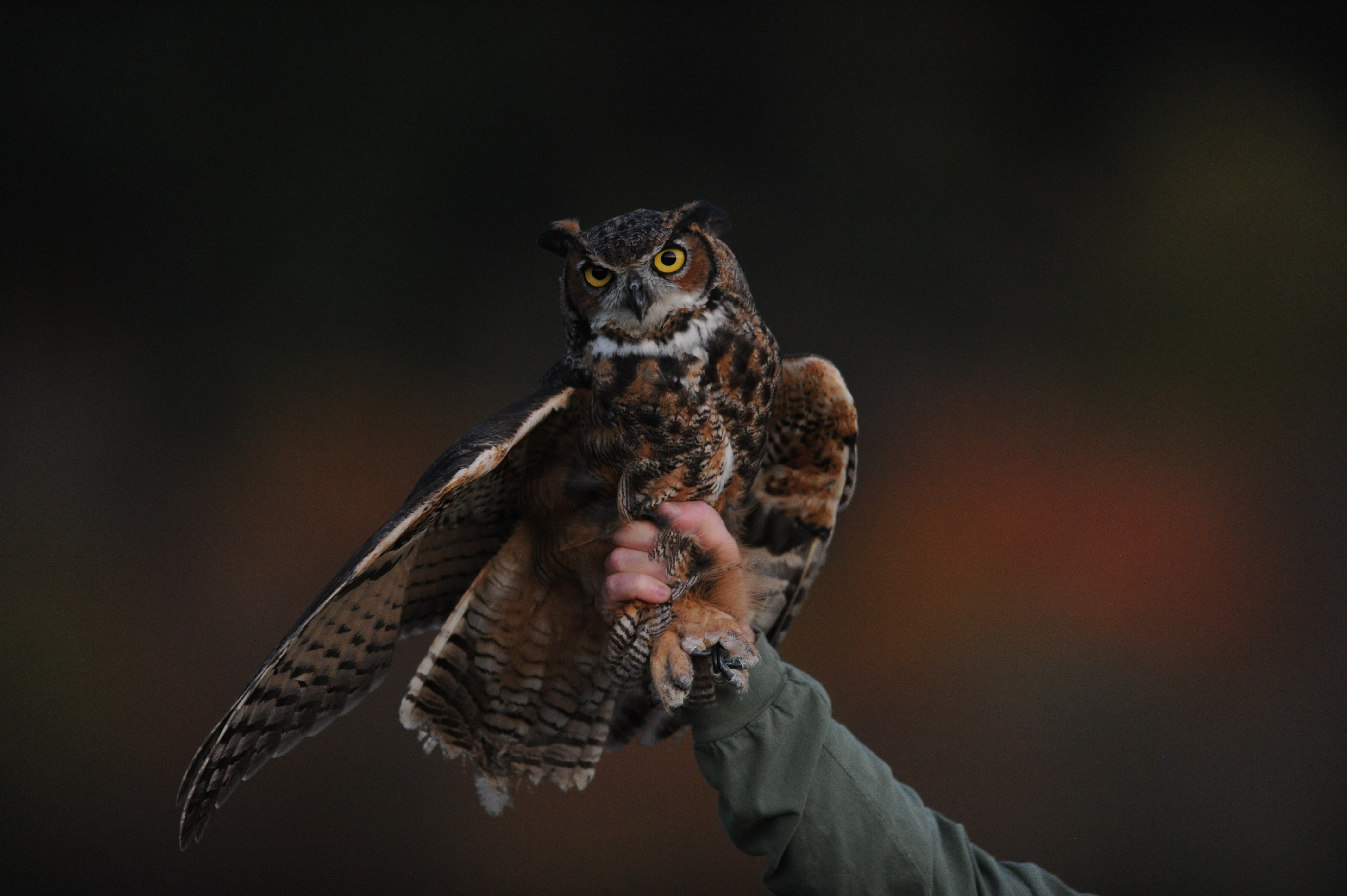 Image of an owl who appears caught by a human hand.