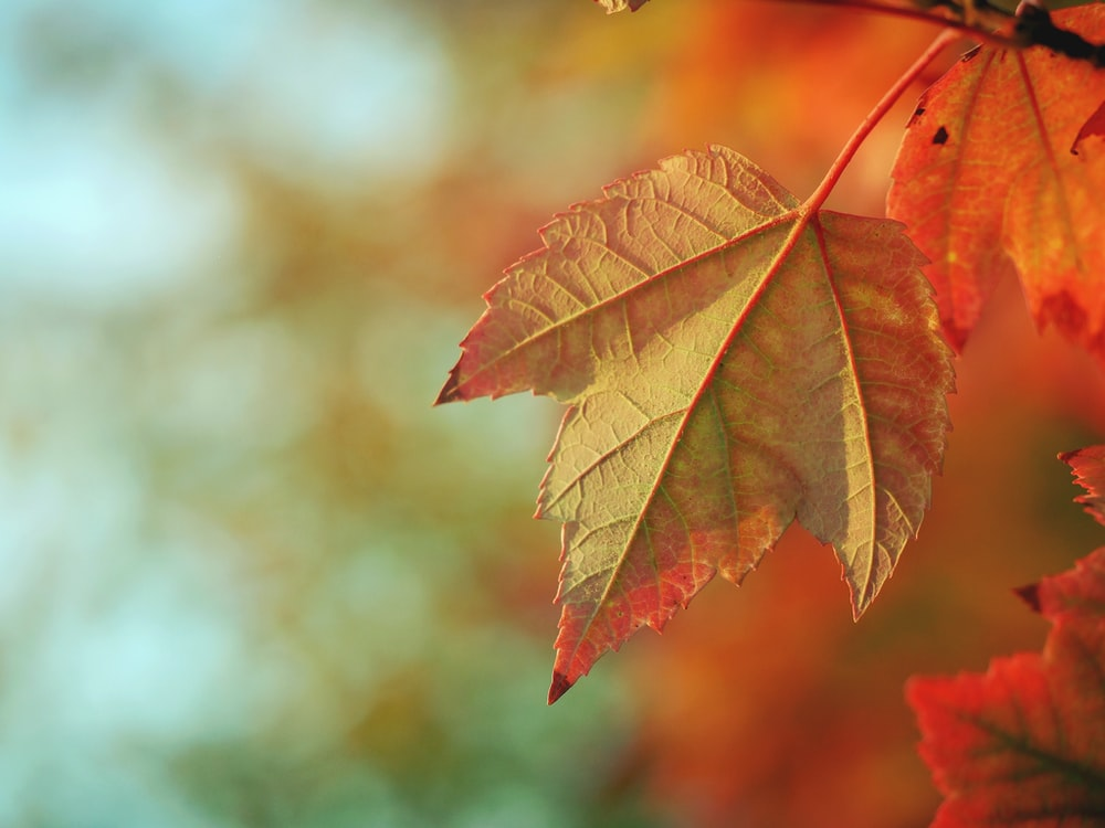 bokeh lights photography of brown maple leaf