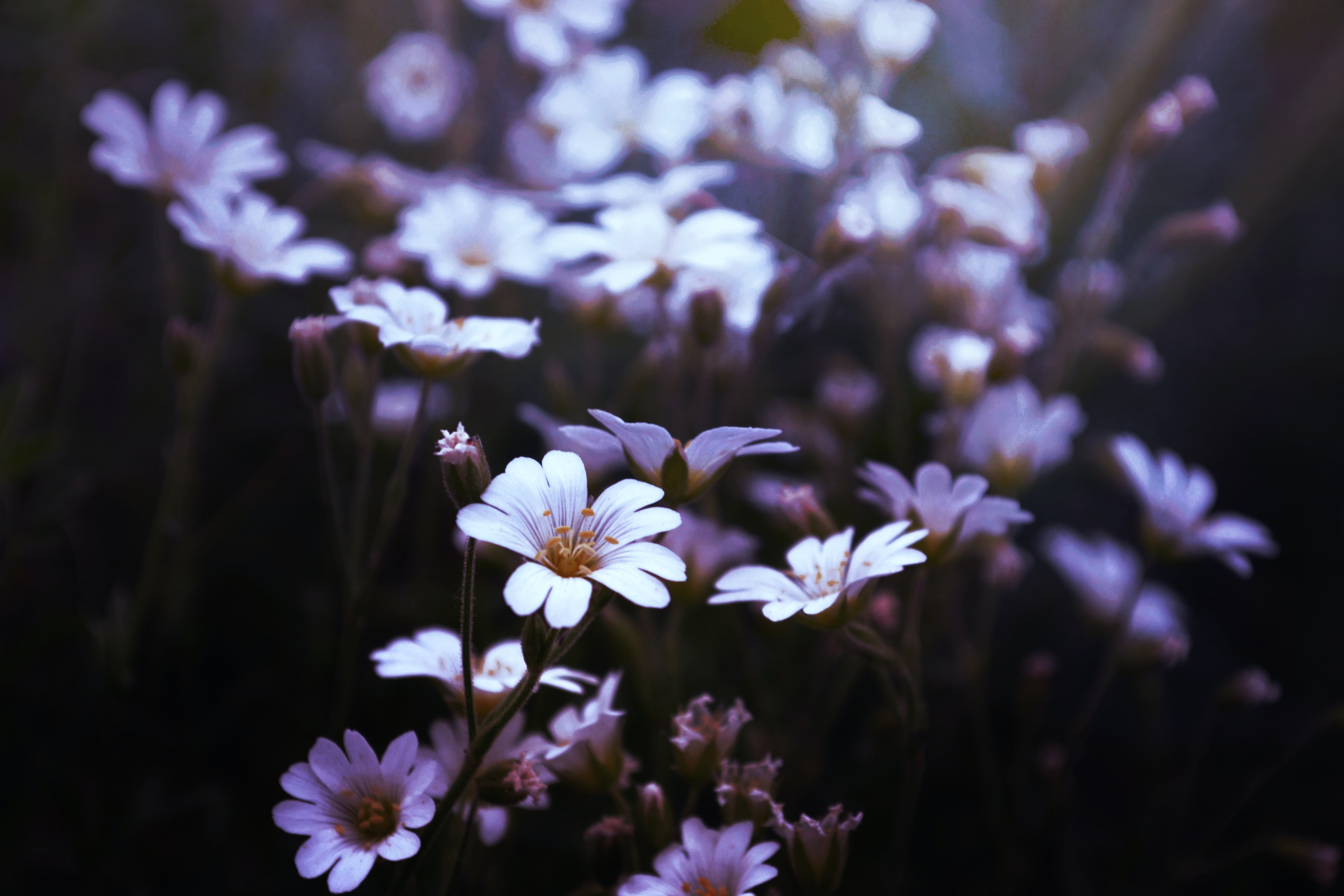 A dim shot of small white flowers in bloom