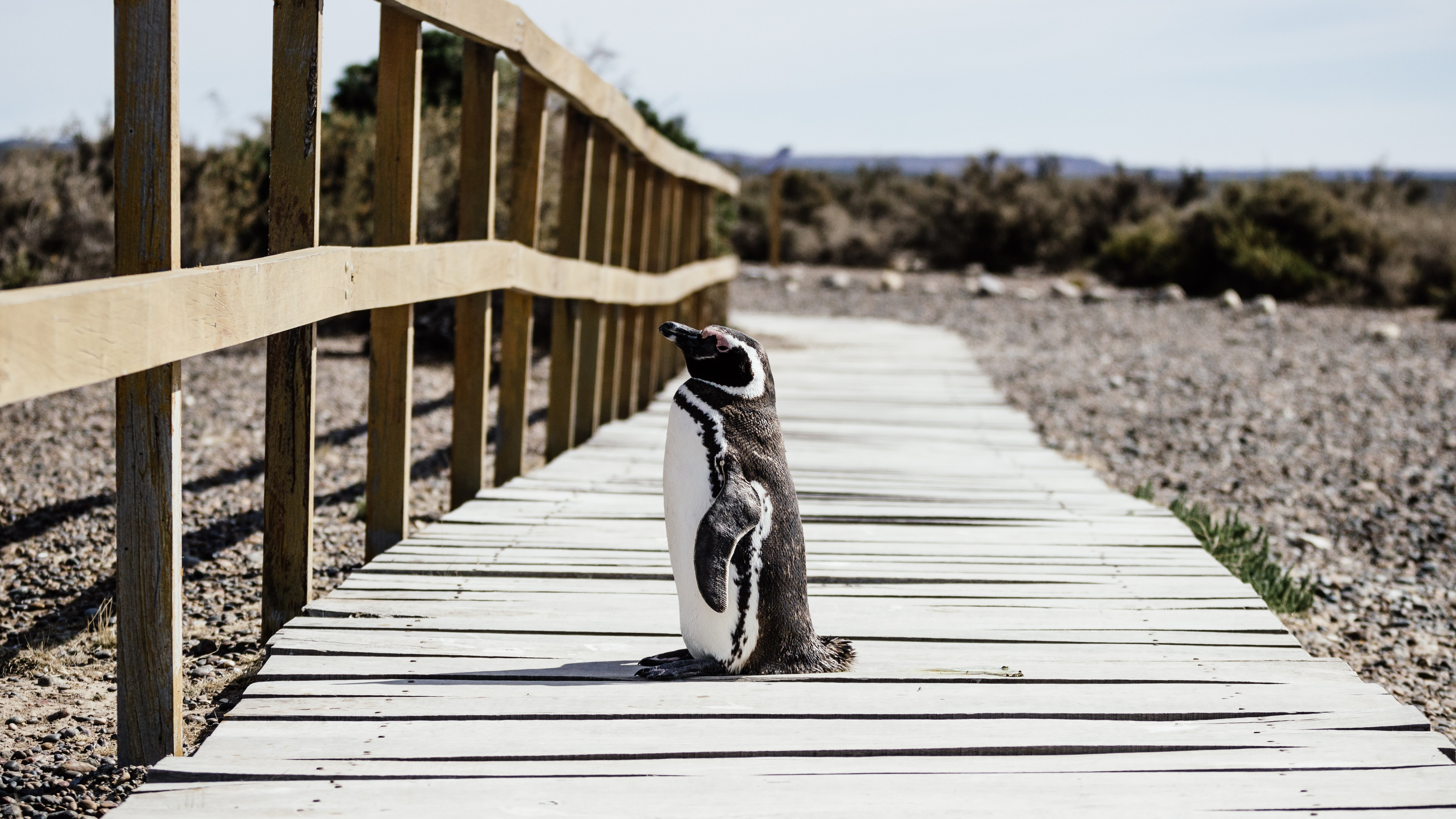 penguin standing on brown wooden pathway near green leaf trees during daytime