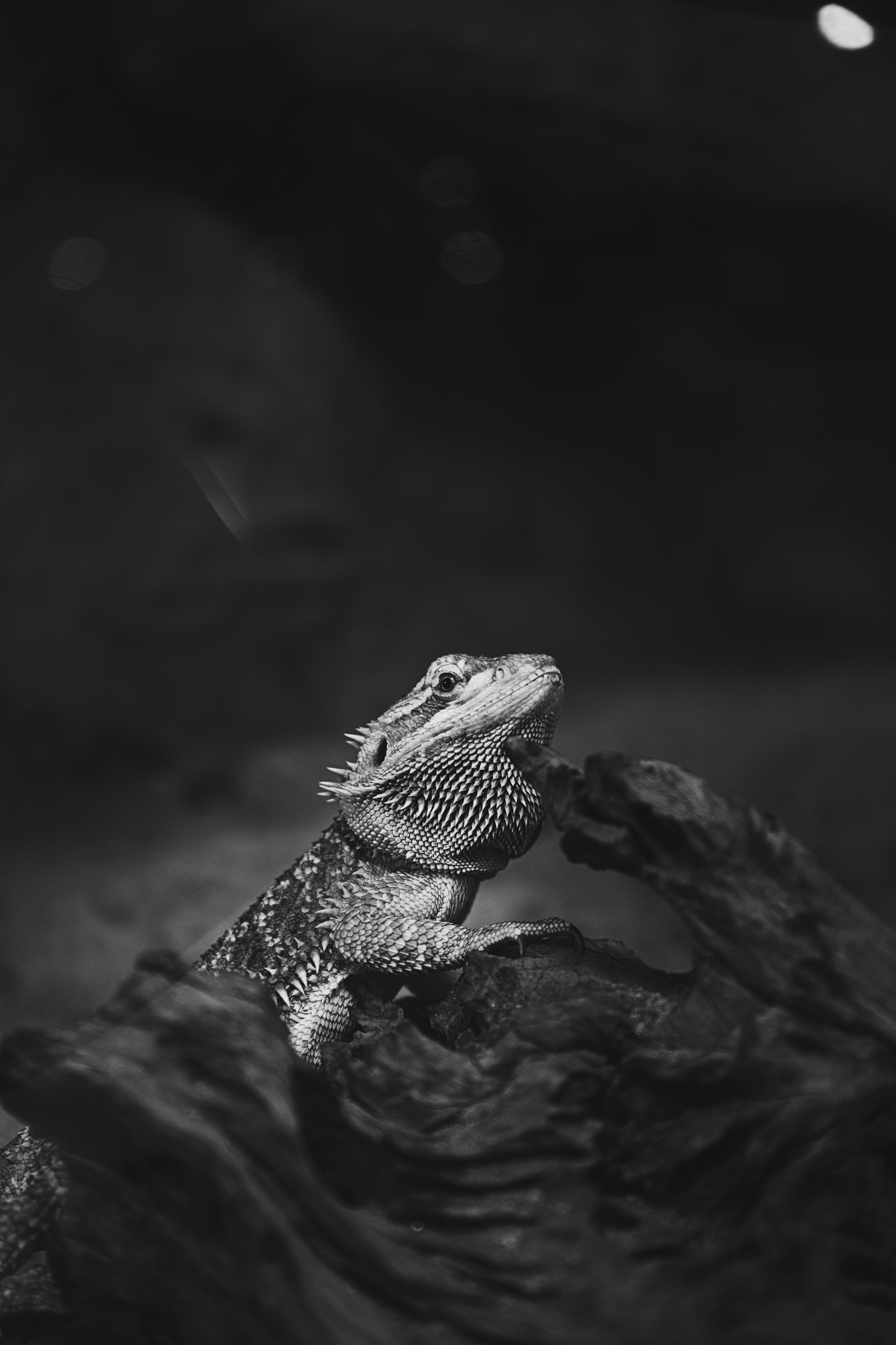 A black-and-white shot of a lizard sitting on a piece of wood