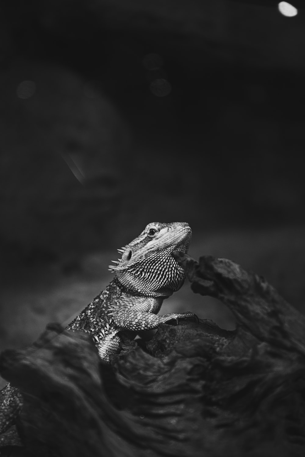 grayscale photography of bearded dragon