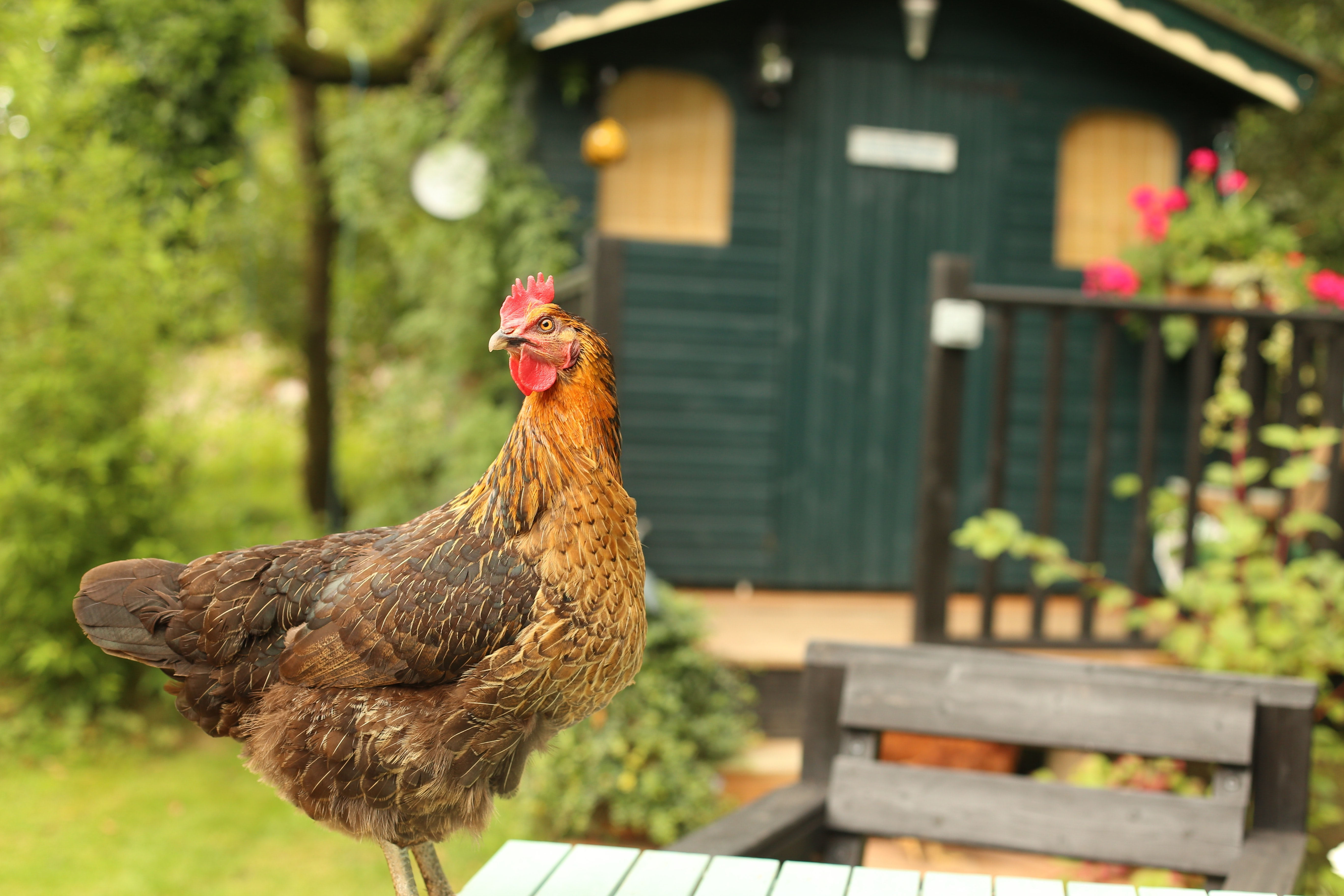 A chicken standing on a table in front of a green shed or cabin in Crymych
