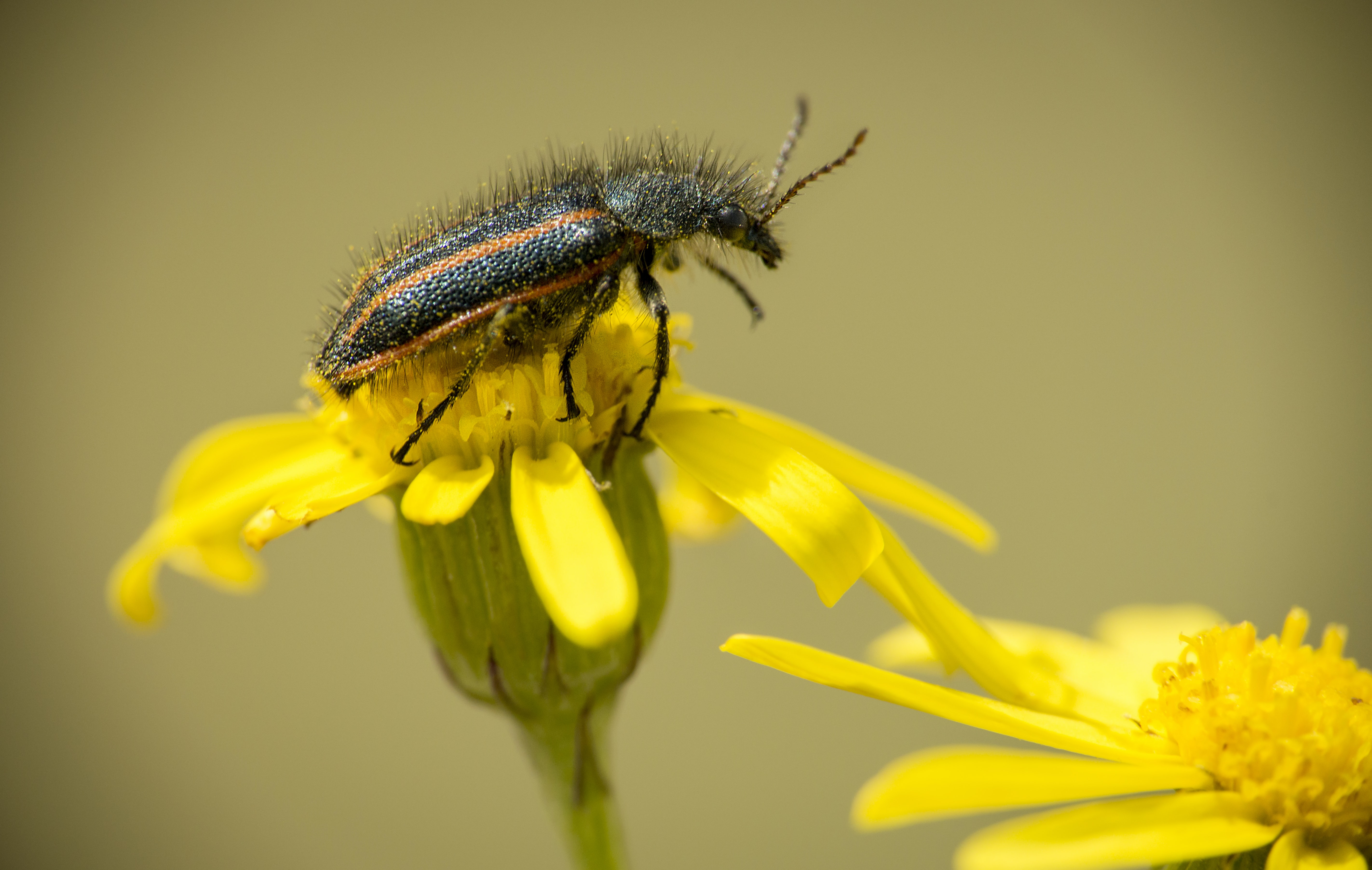 A shelled insect on top of a yellow flower