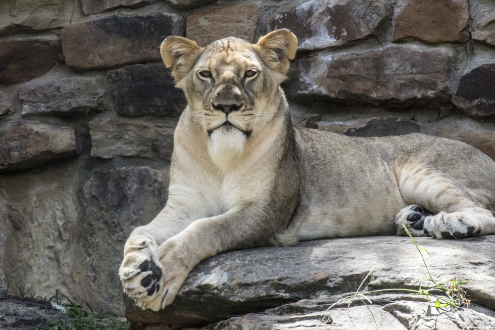 lion laying on gray stone