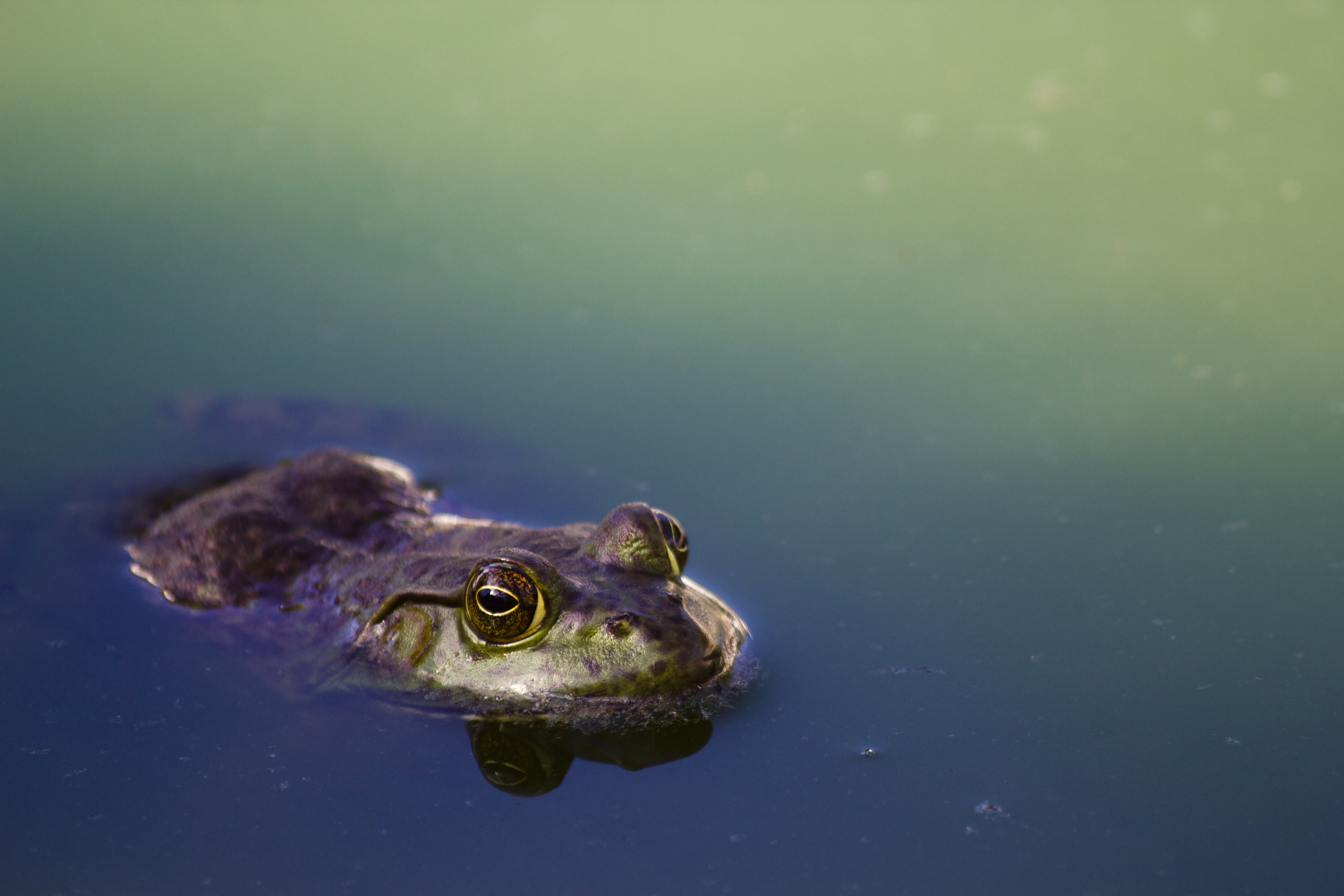 brown frog on river