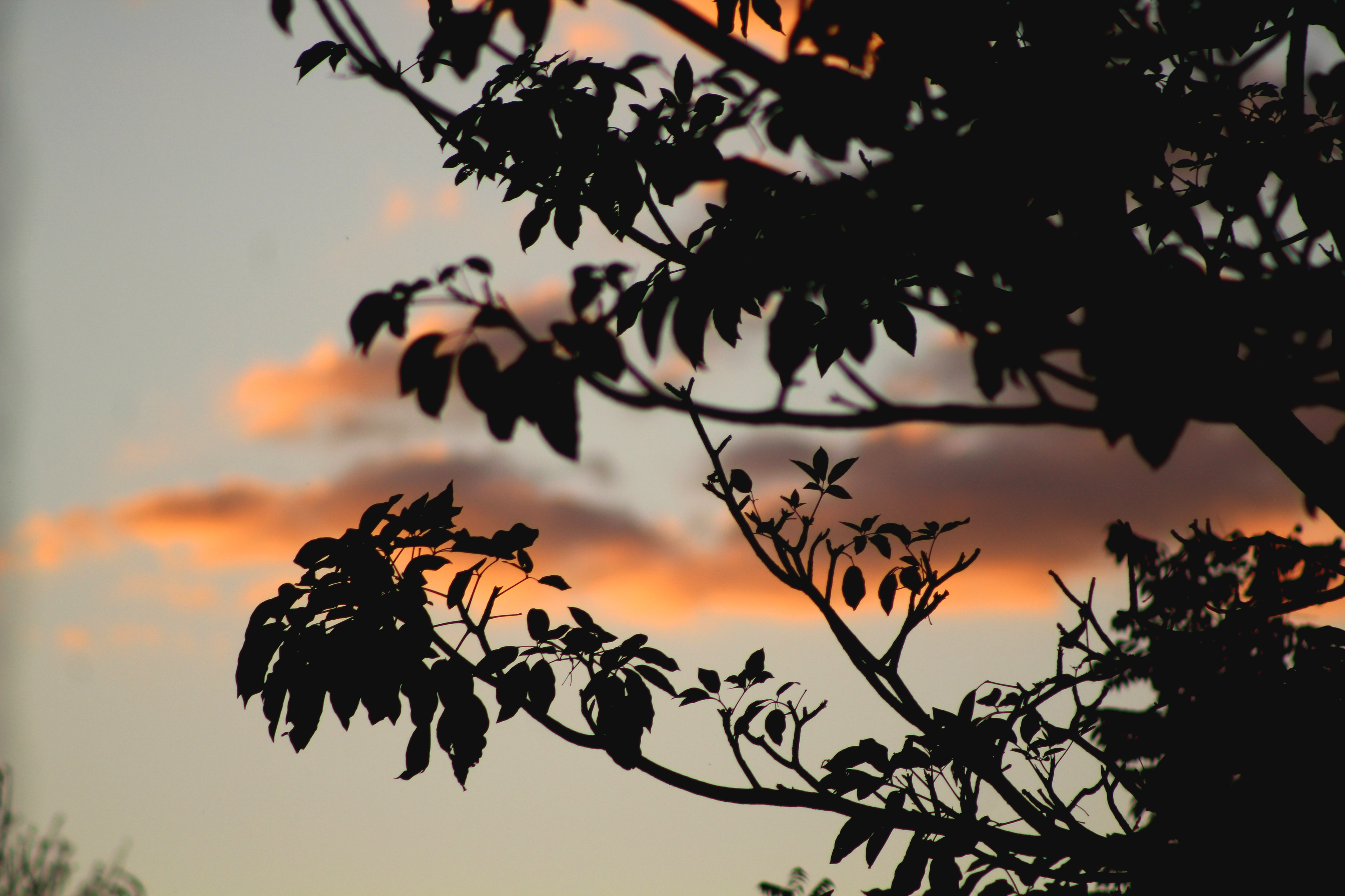Silhouette of tree branches covering the sunset sky and evening clouds