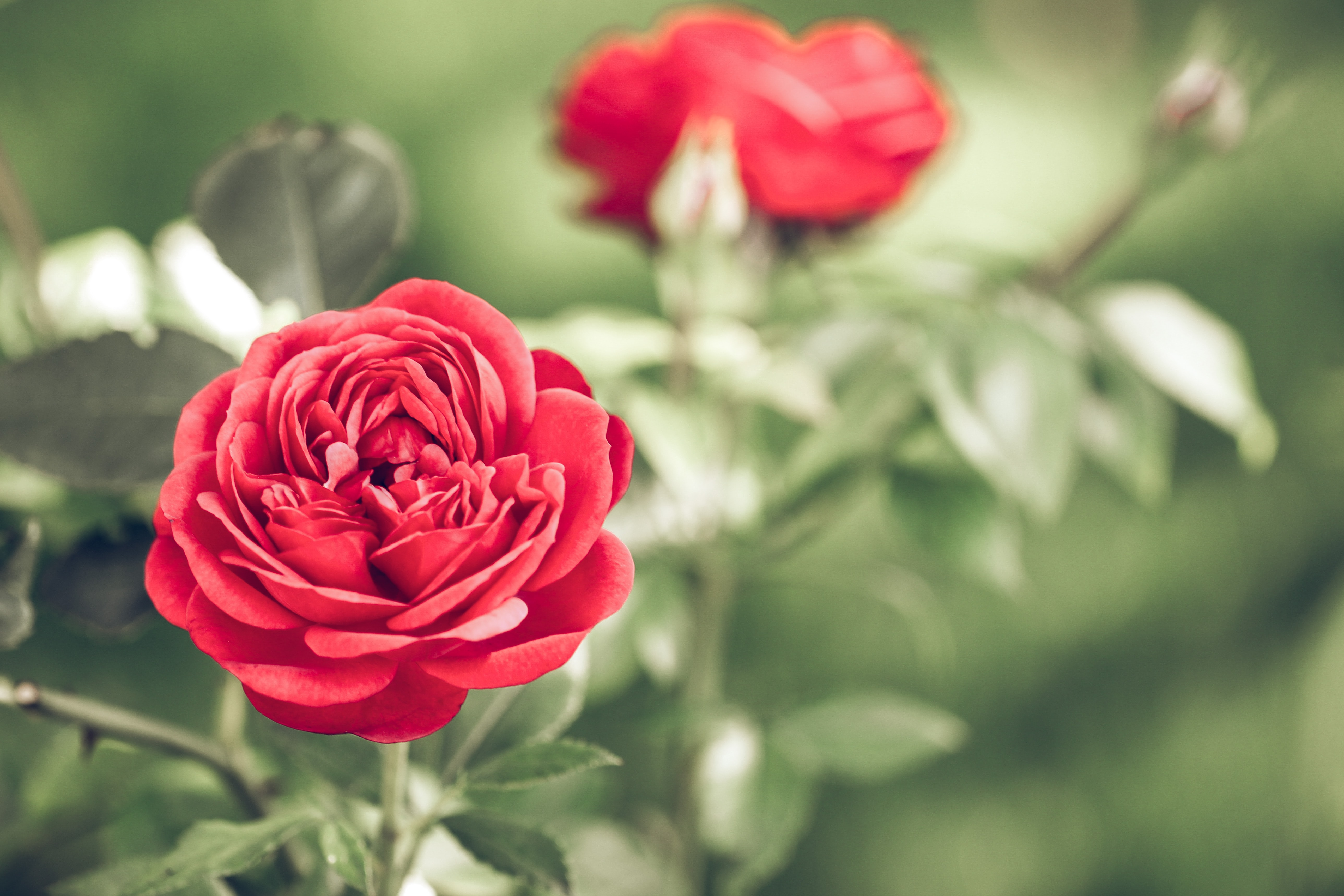 A close-up of bright red roses on a bush