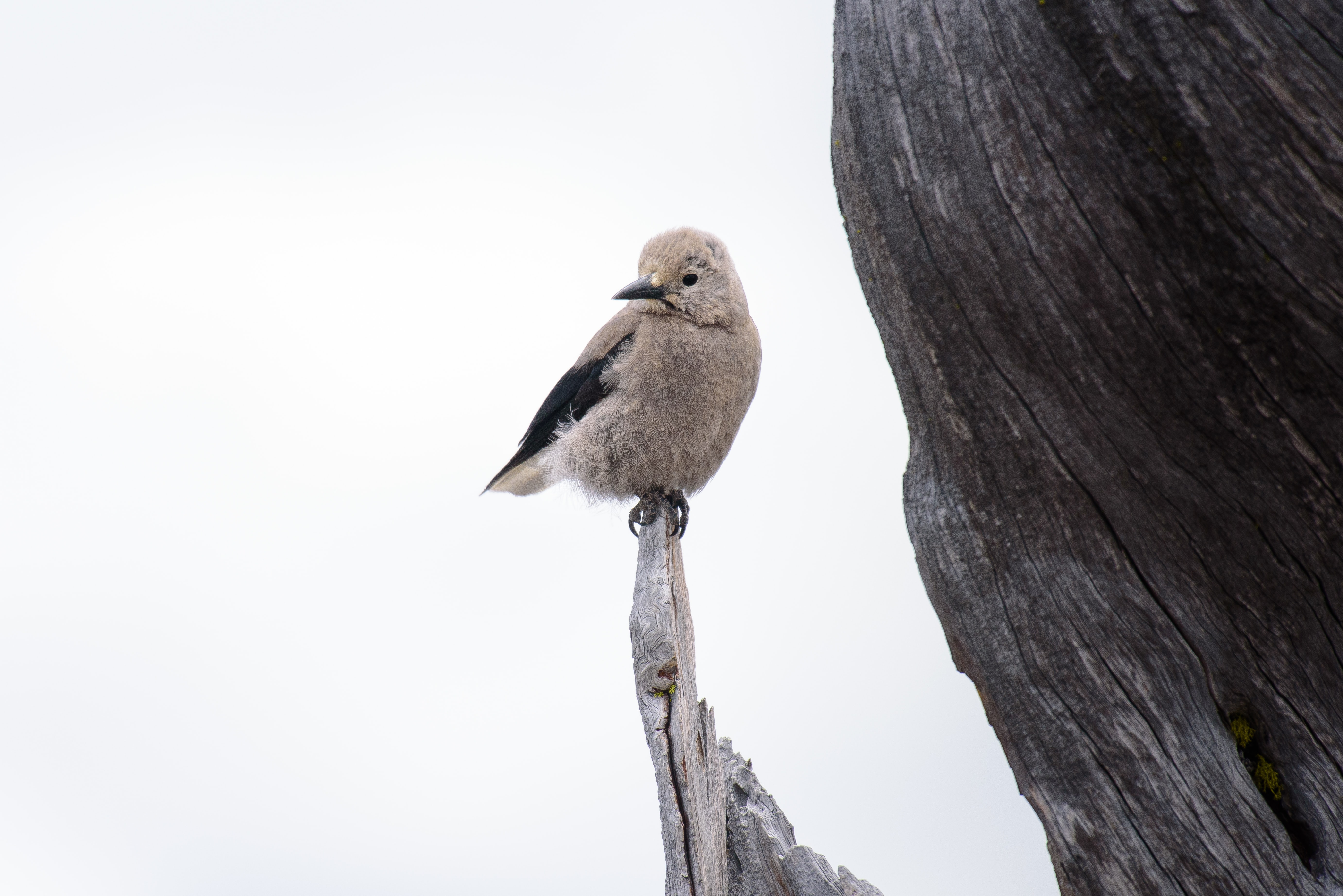 gray bird standing on edge of drift wood