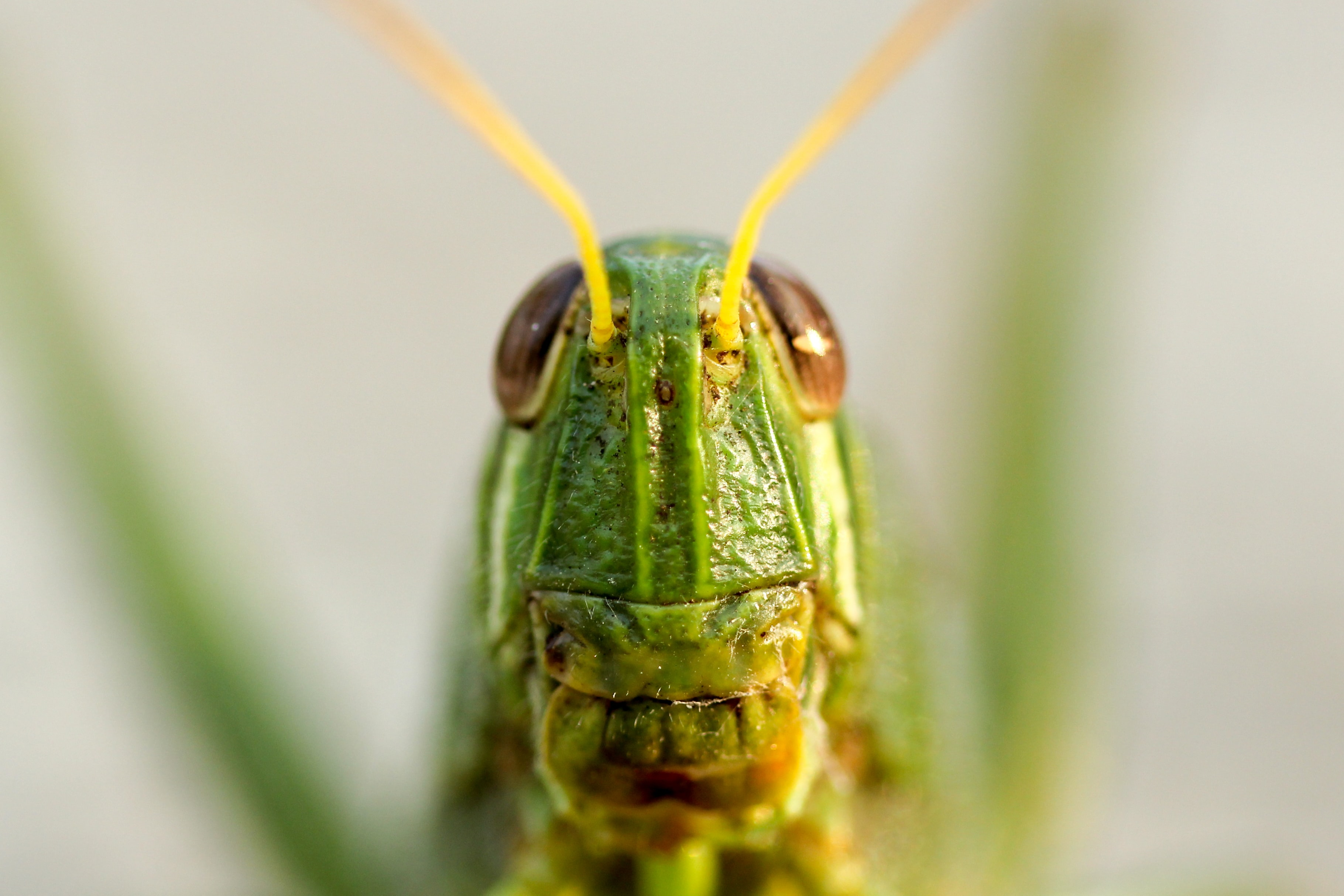Closeup of eyes and antennae on a grasshopper