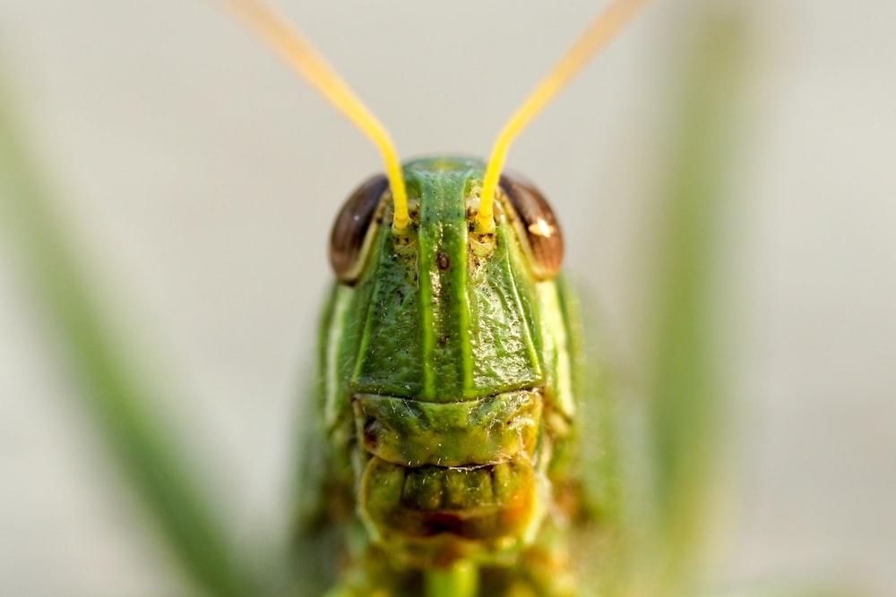 closeup view of green grasshopper